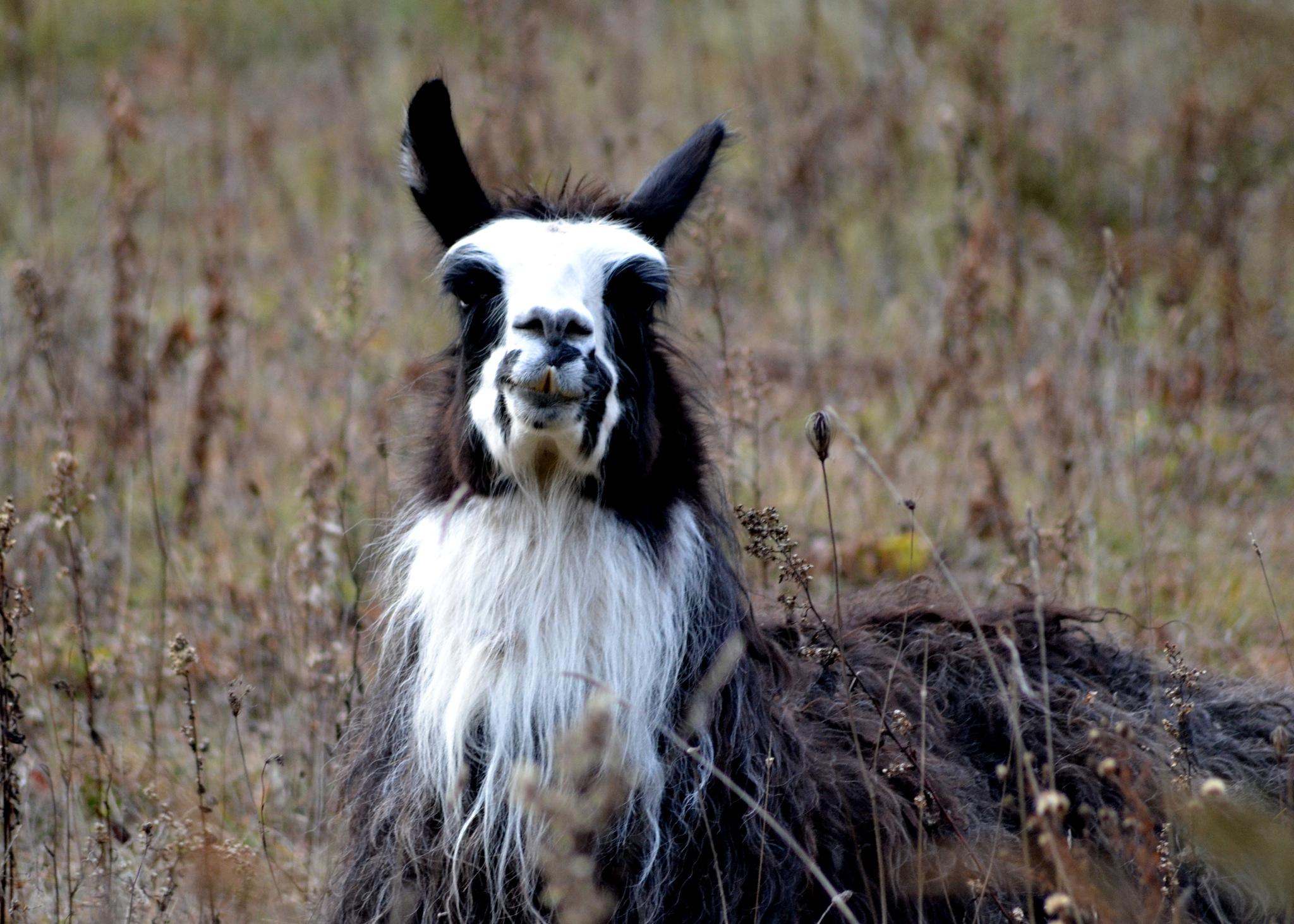 Llama by Steve Webb