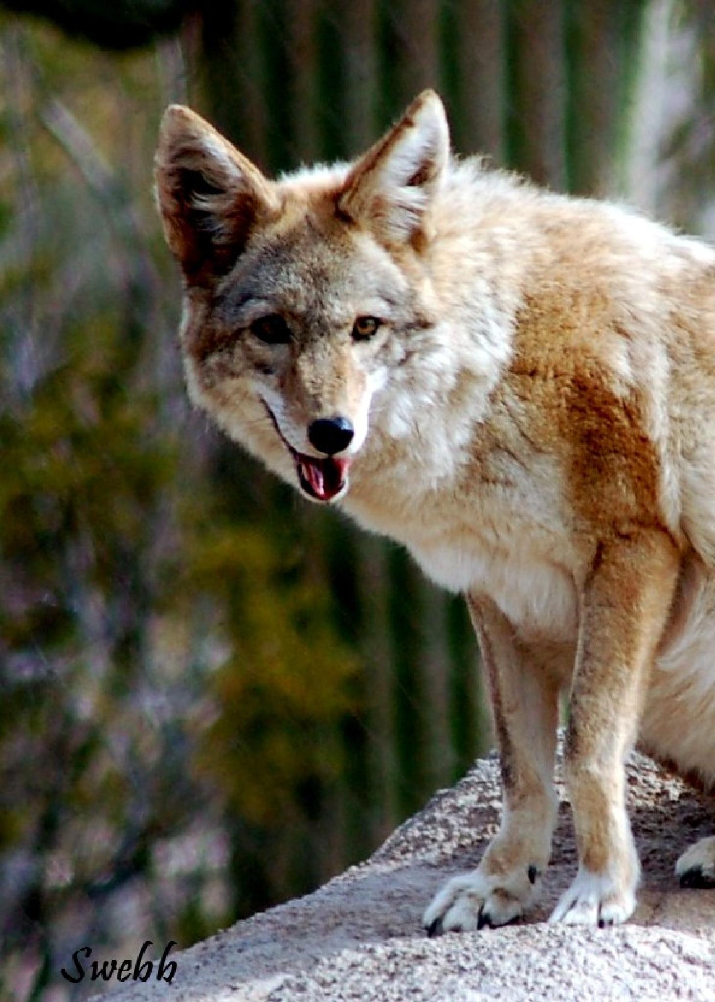 Coyote by Steve Webb
