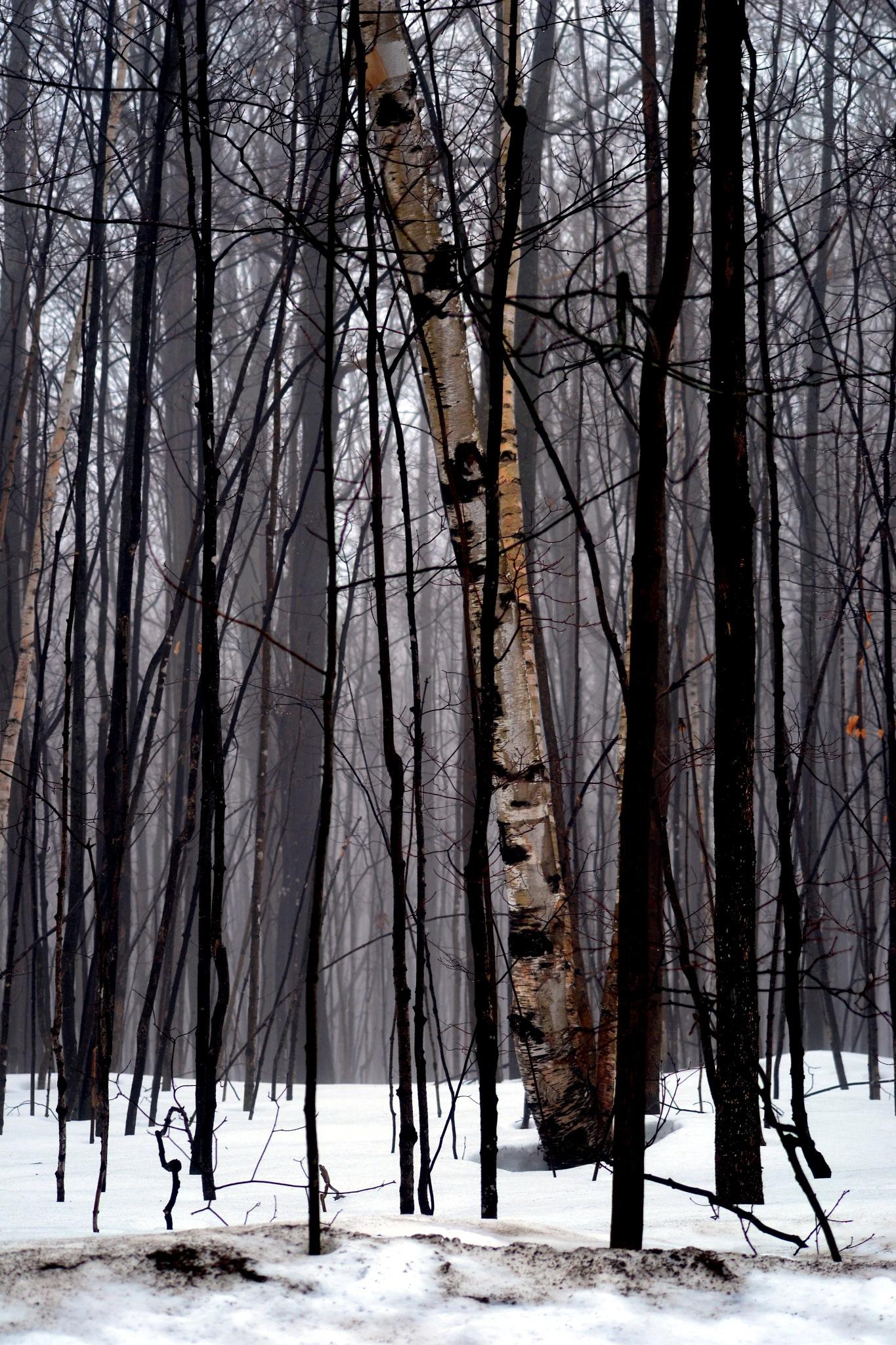 Winter Trees by Steve Webb