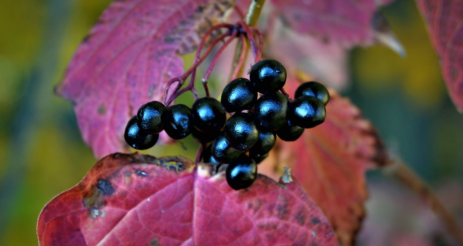 Fall Berries by Steve Webb