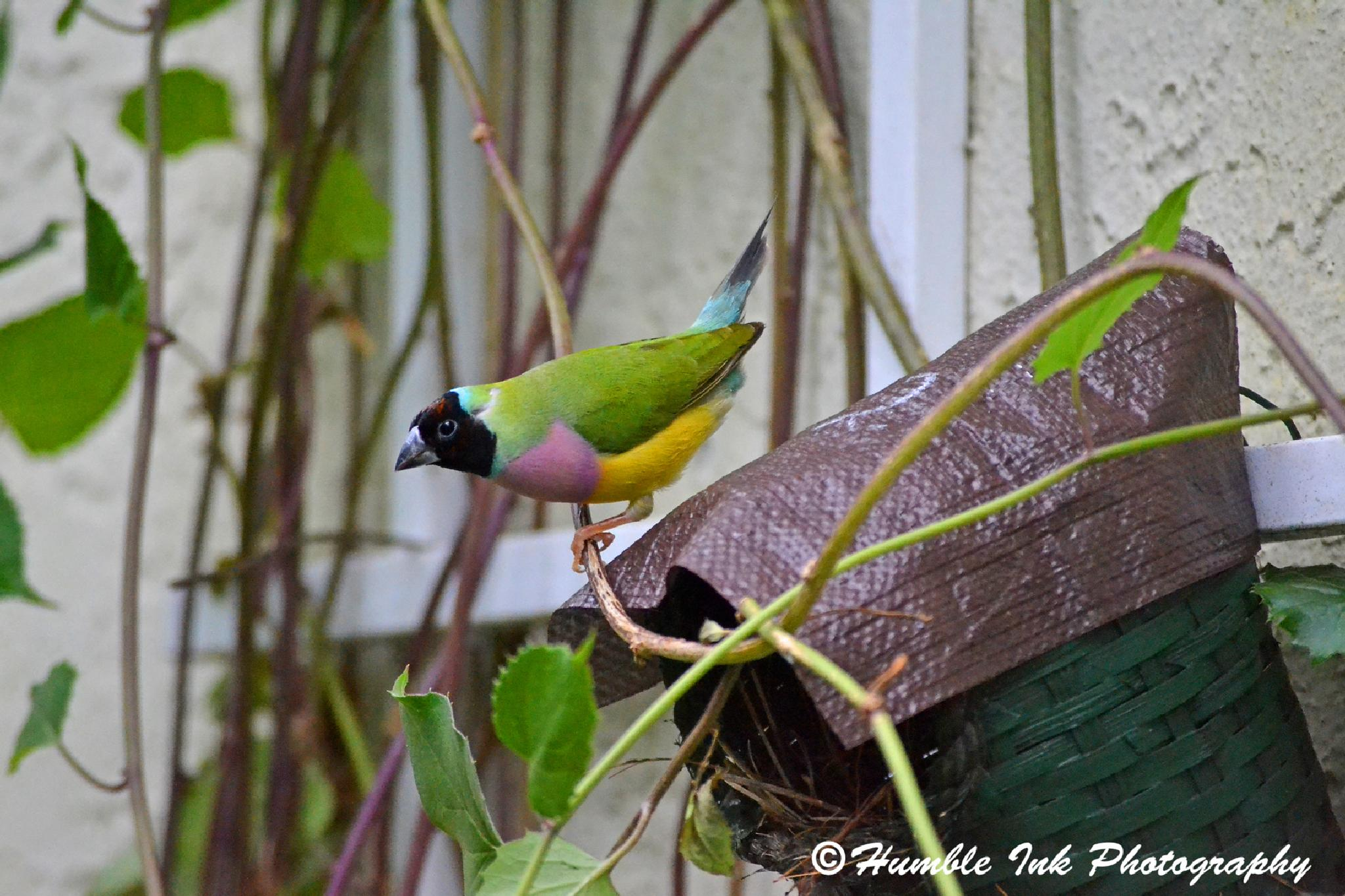 Gouldian Finch on Branch by troy.humble