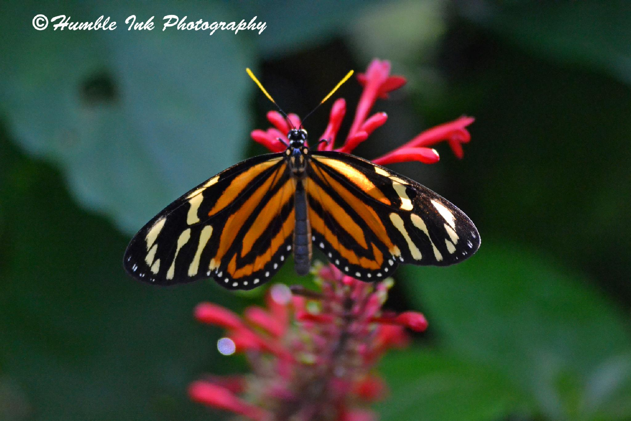 Butterfly on Red Flowers by troy.humble