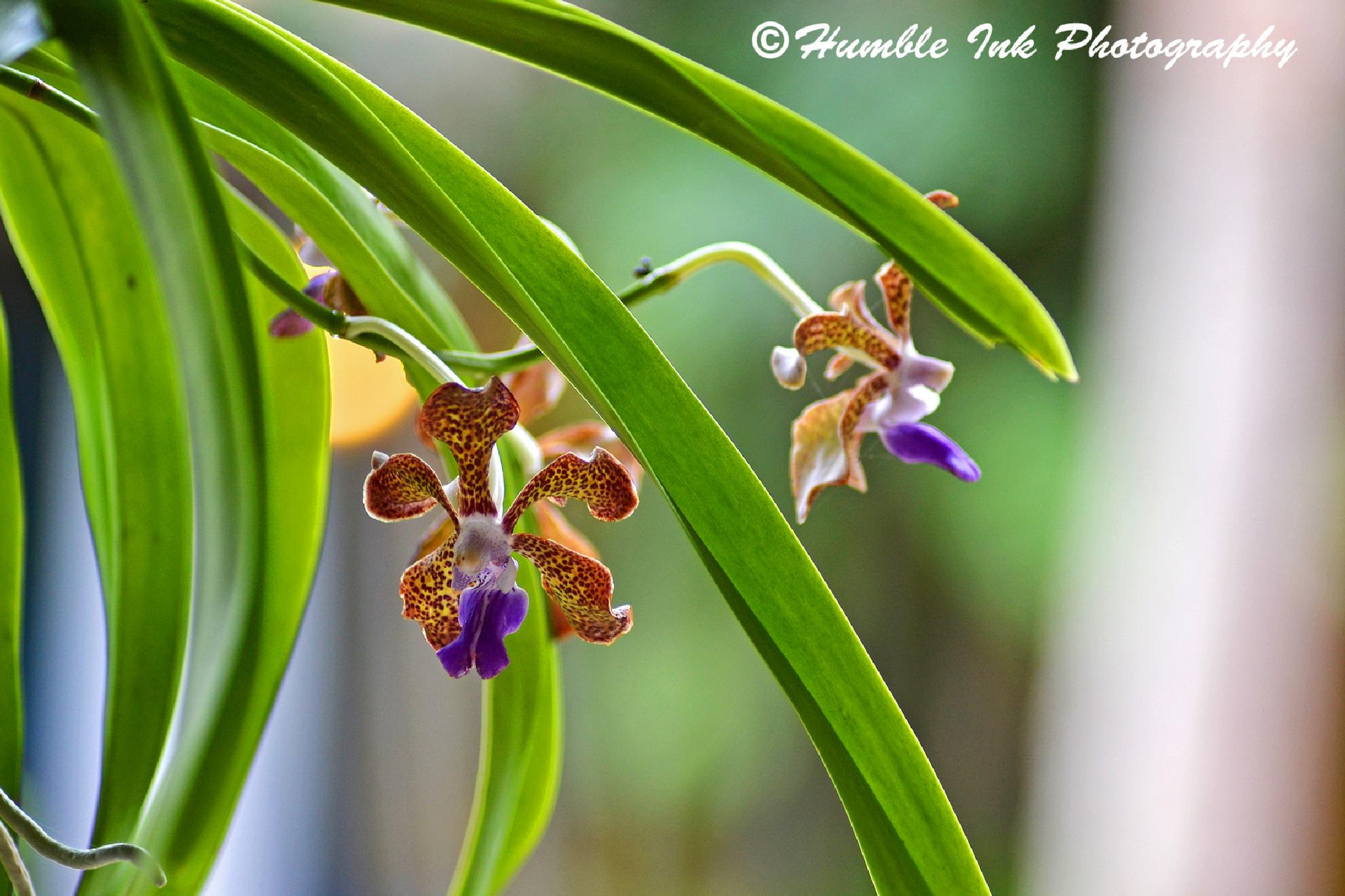 Tiger Orchids by troy.humble