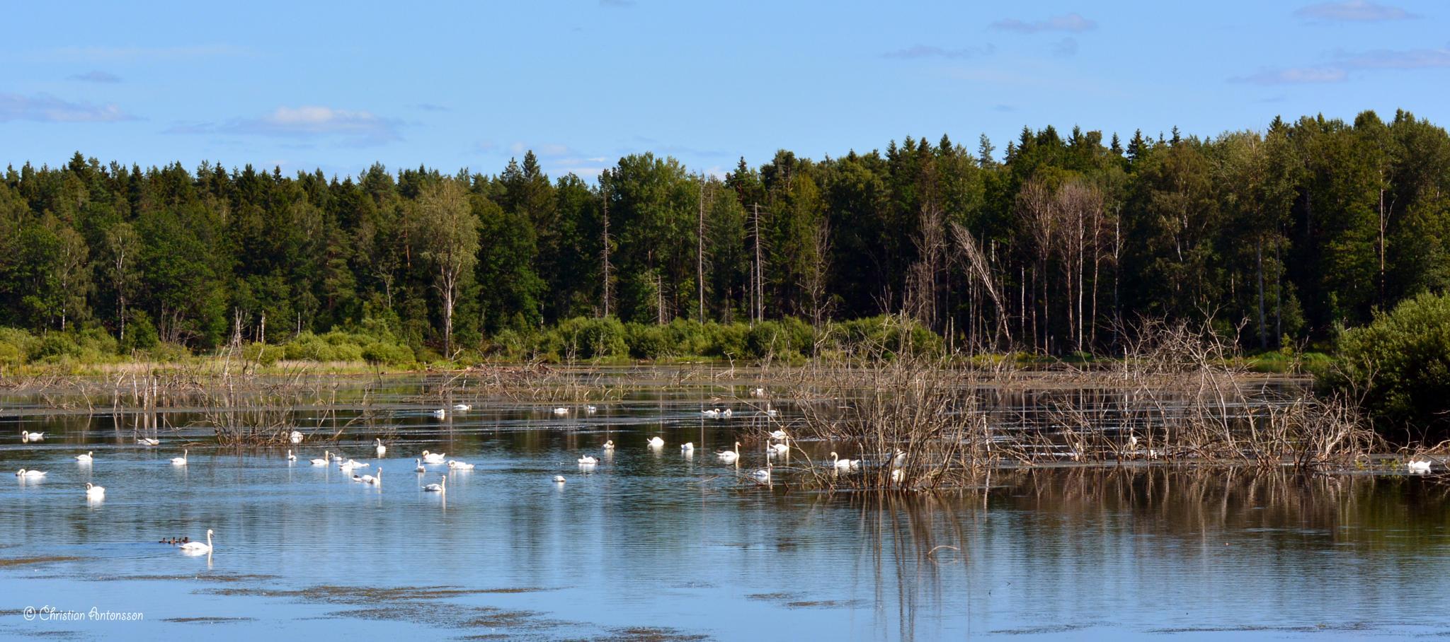 Swans at Lake Rosenkällasjön by christian.antonsson