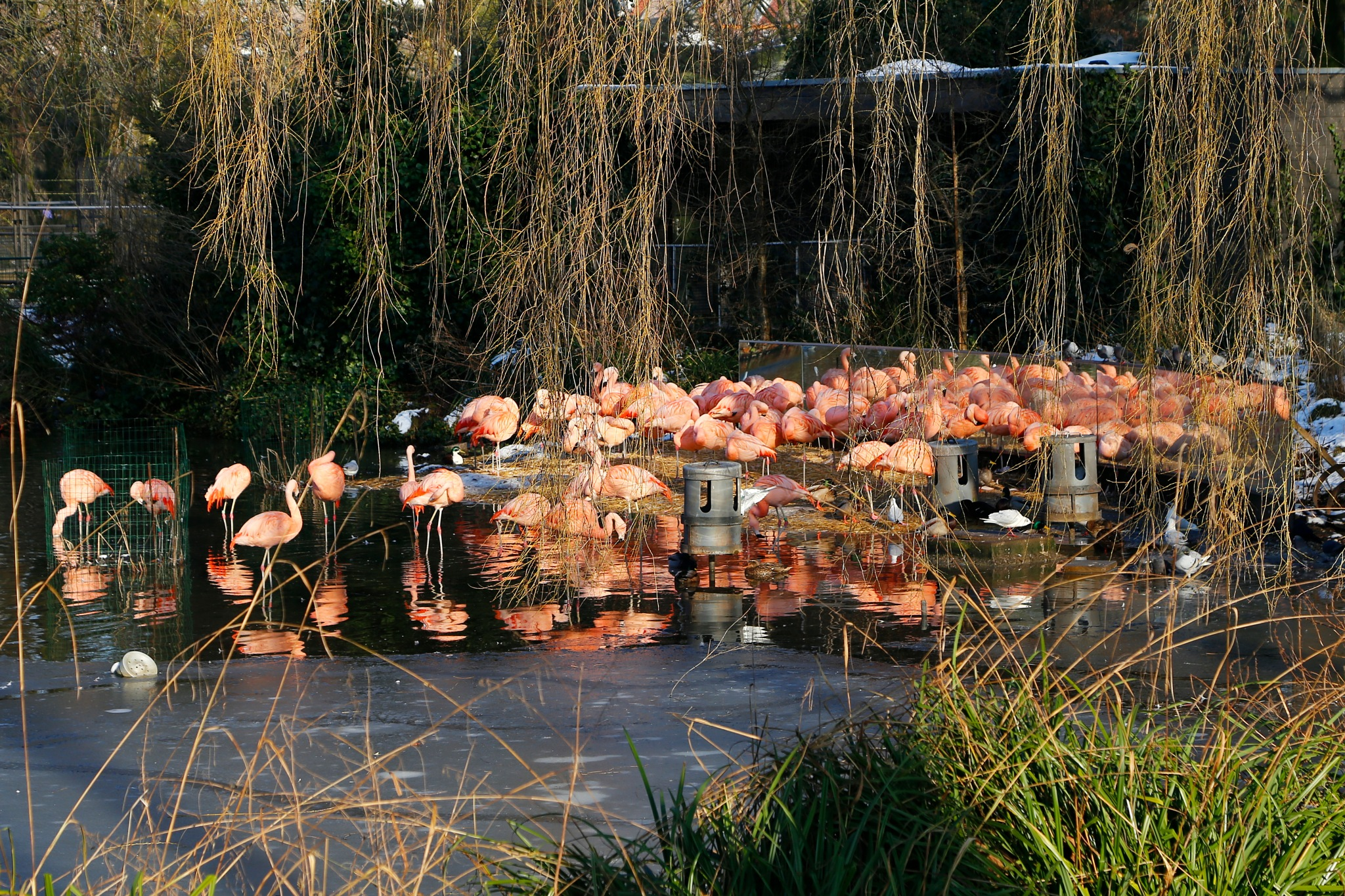 Flamingos in winter by Anders Weinberg