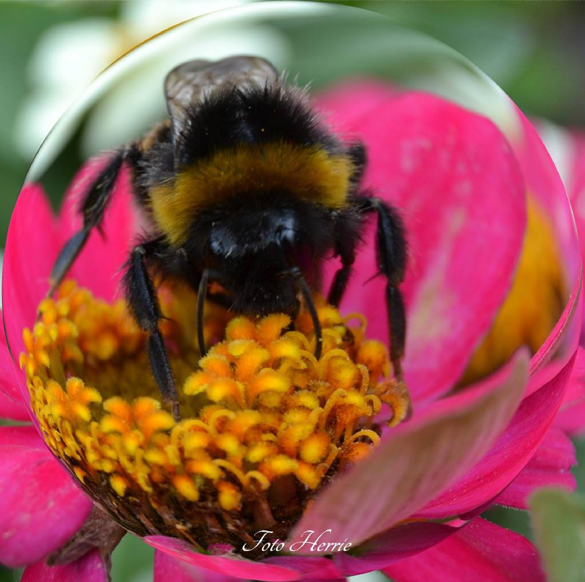 Bumblebee 1 by photoherrieschnoink