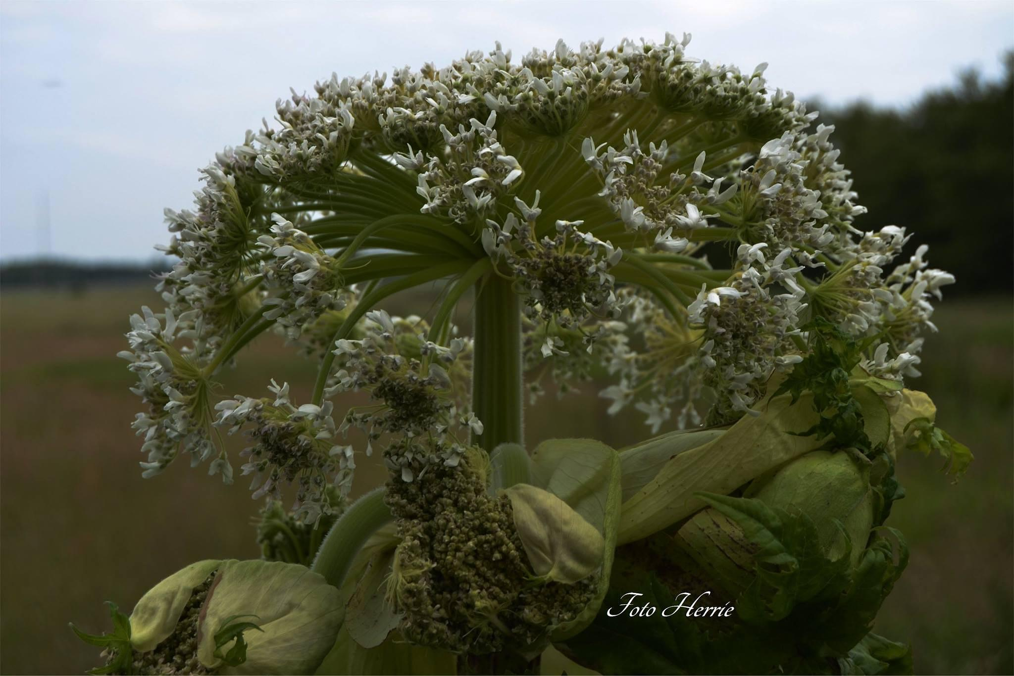 Heracleum mantegazzianum by photoherrieschnoink