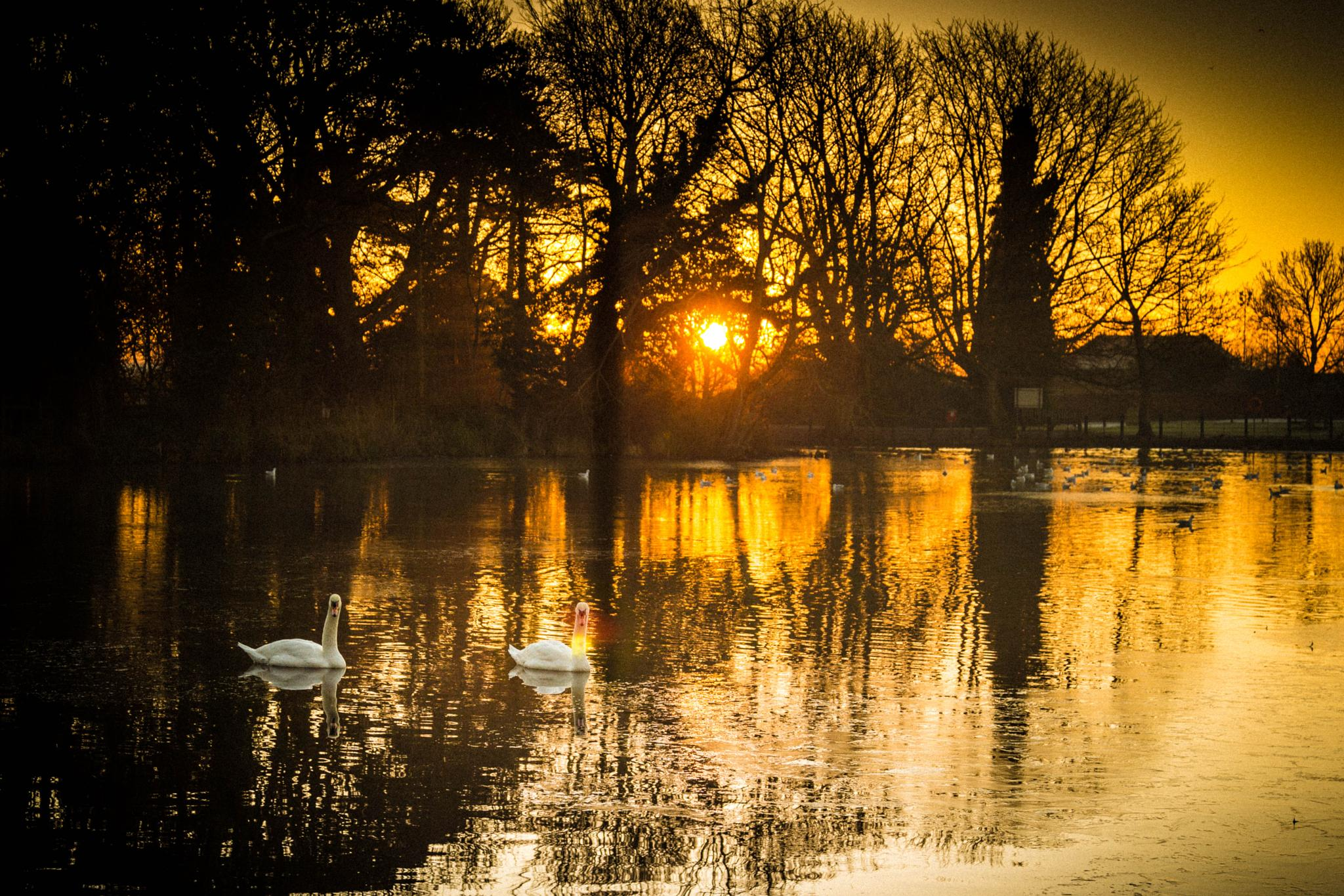 swans at sunrise  by eddie.powell.9809