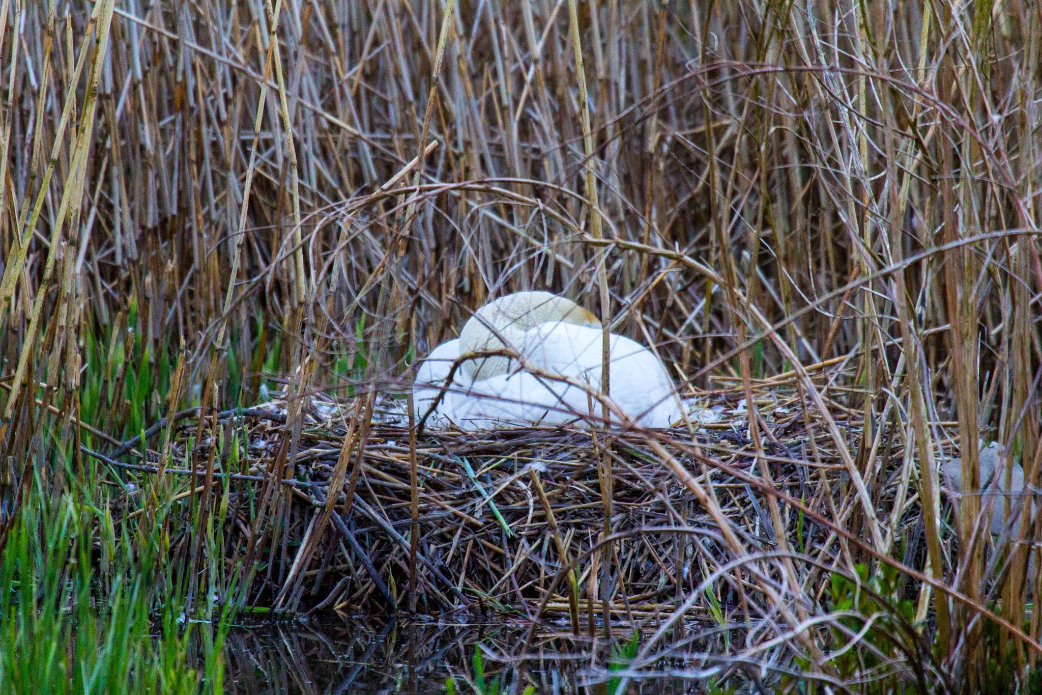 swan on her nest  by eddie.powell.9809