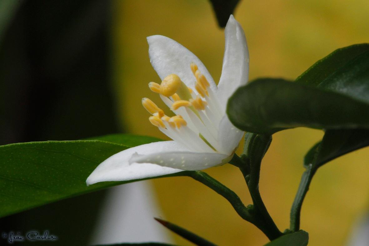 Flor do Limoeiro by leao.cardoso