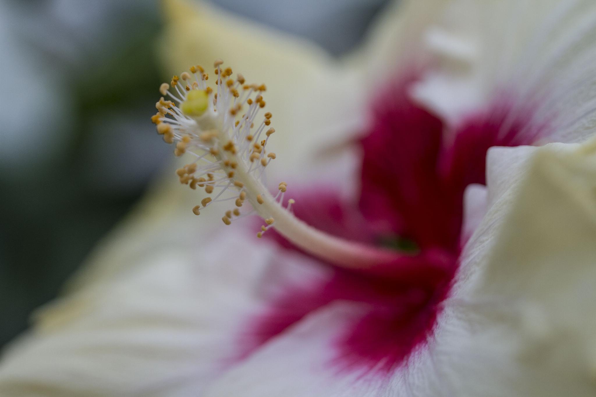 bleeding red white hibiscus by Liwanag_Sa_Dilim