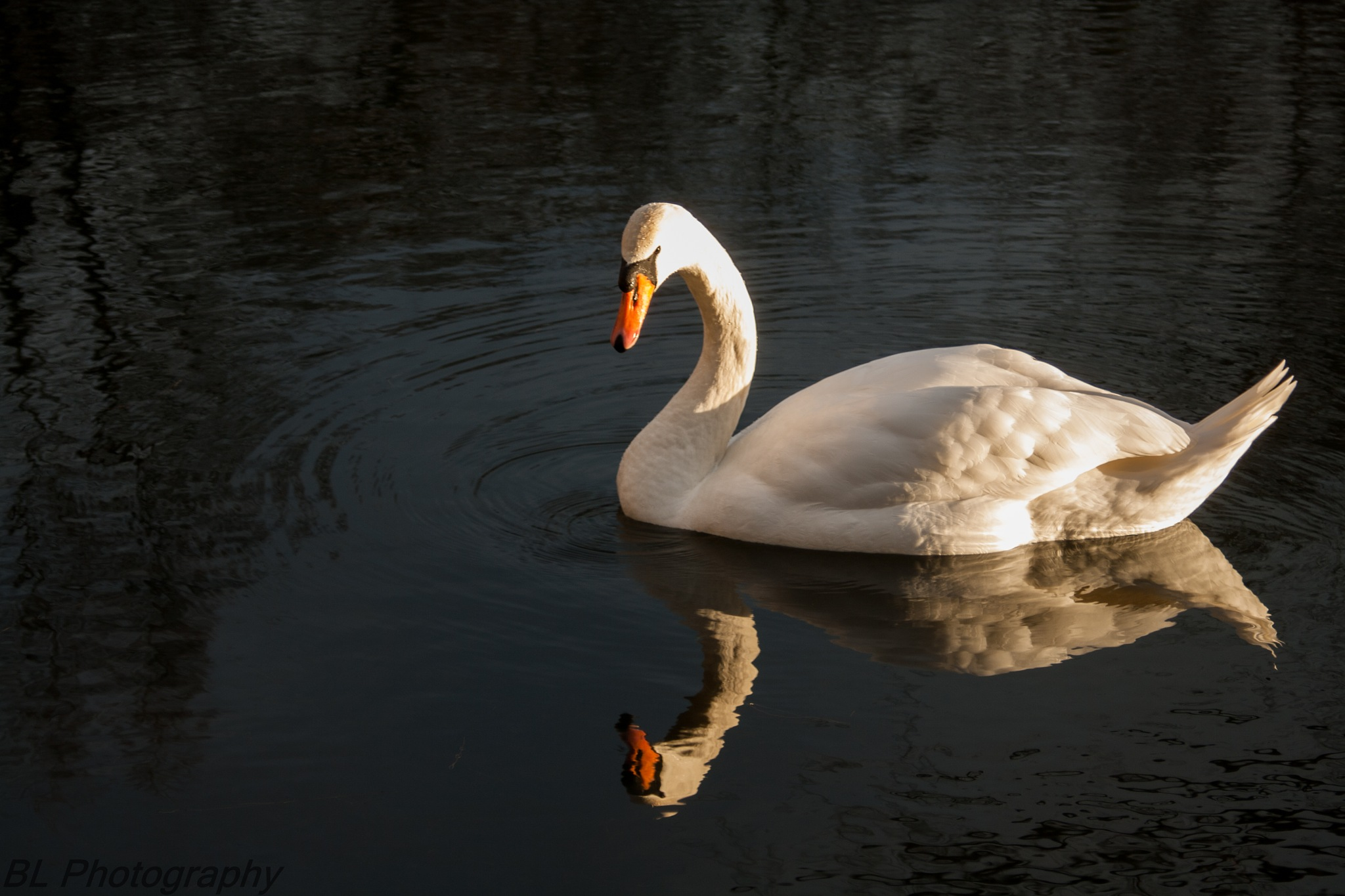 Swan by Brian Lauridsen
