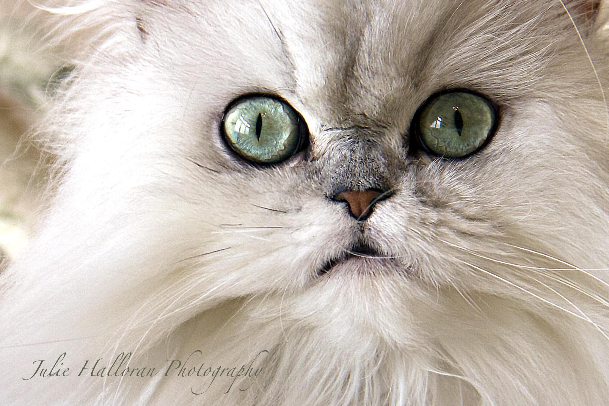 Photo in Animal #shaded silver persian #persian cat #kitten #persian #emerald eyes #cat #julie halloran photography