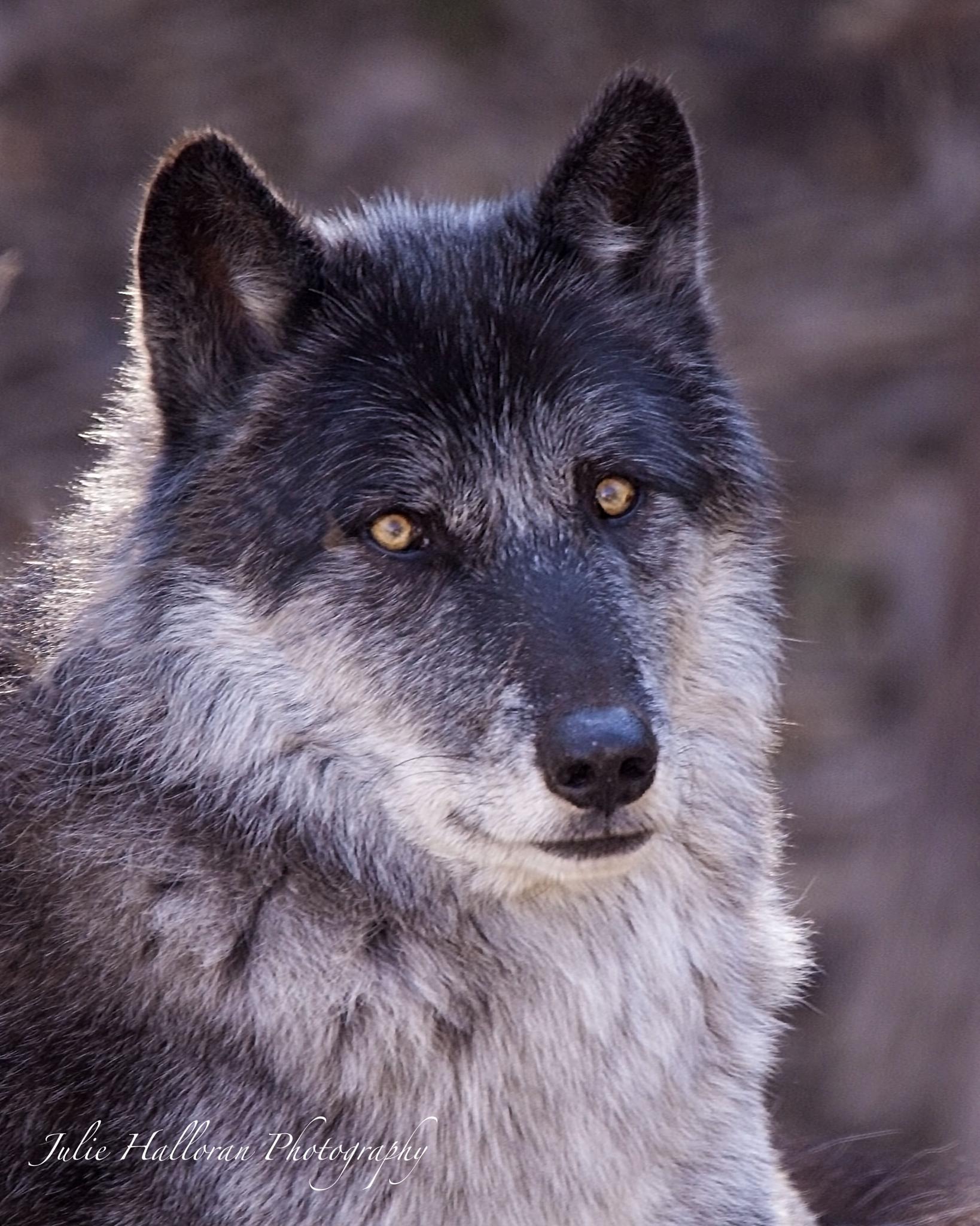 American Gray Wolf by JulieHalloran