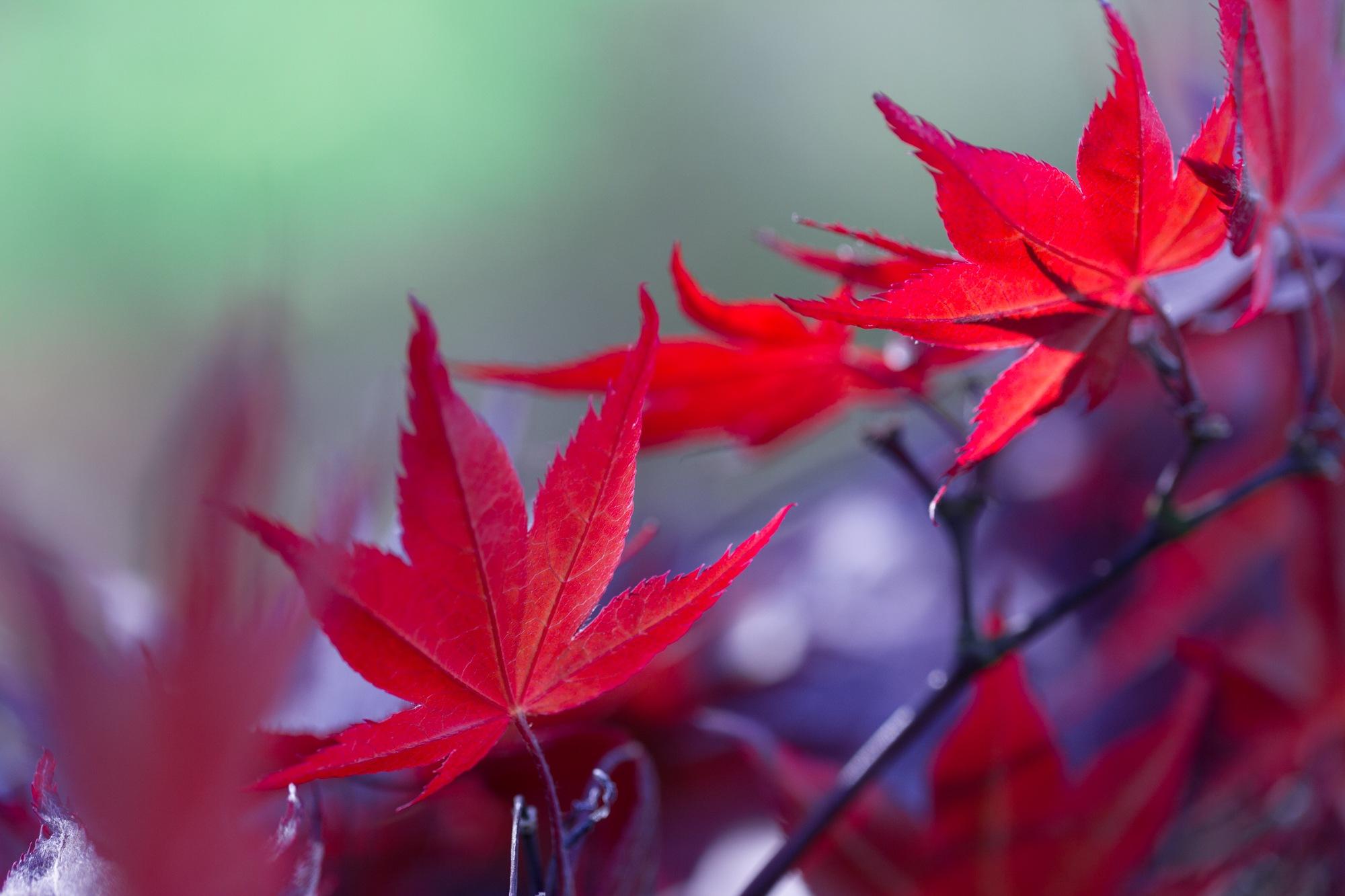 Japanese Maple by Wanja Wiese