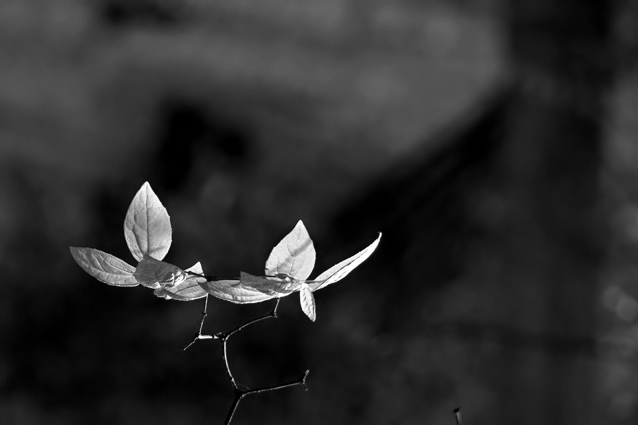 Photo in Black and White #black&white #leaf #spring