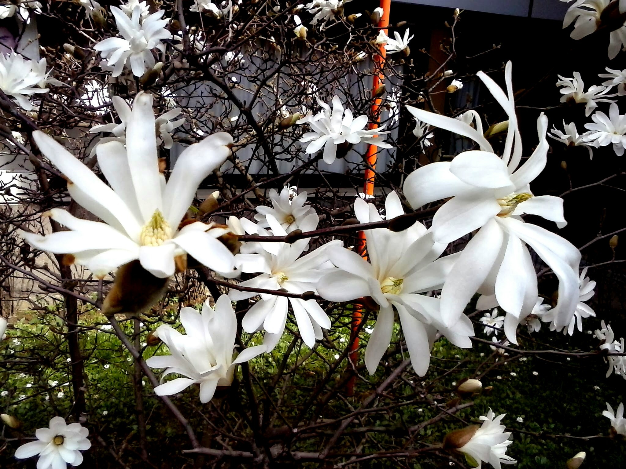 Magnolia stellata. Flowers again by Paolo Pasquali