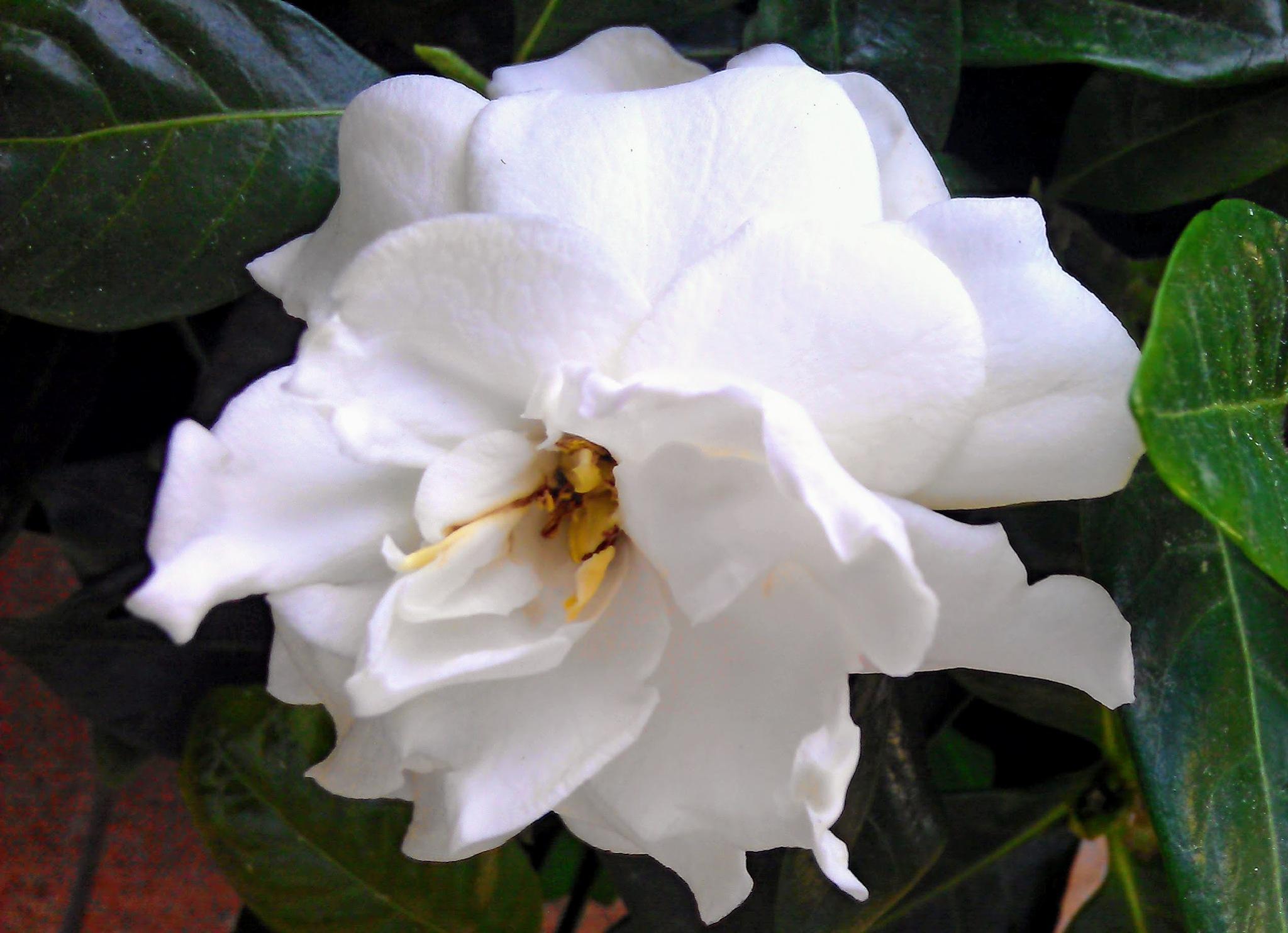 White gardenia by Paolo Pasquali
