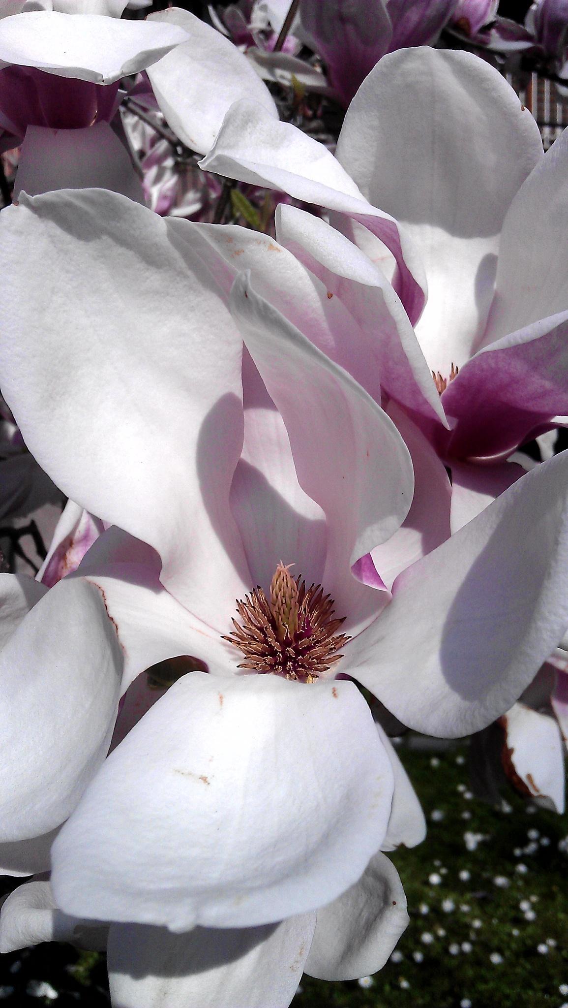 Magnolia rosa. by Paolo Pasquali