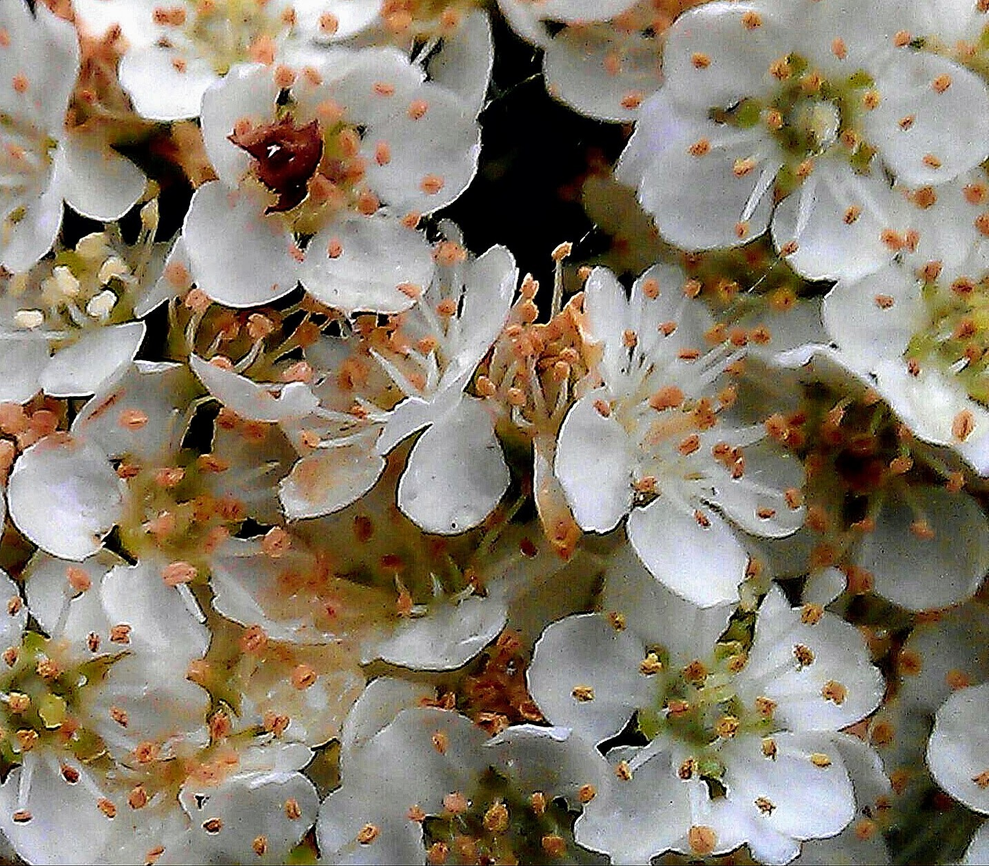 White flowers by Paolo Pasquali