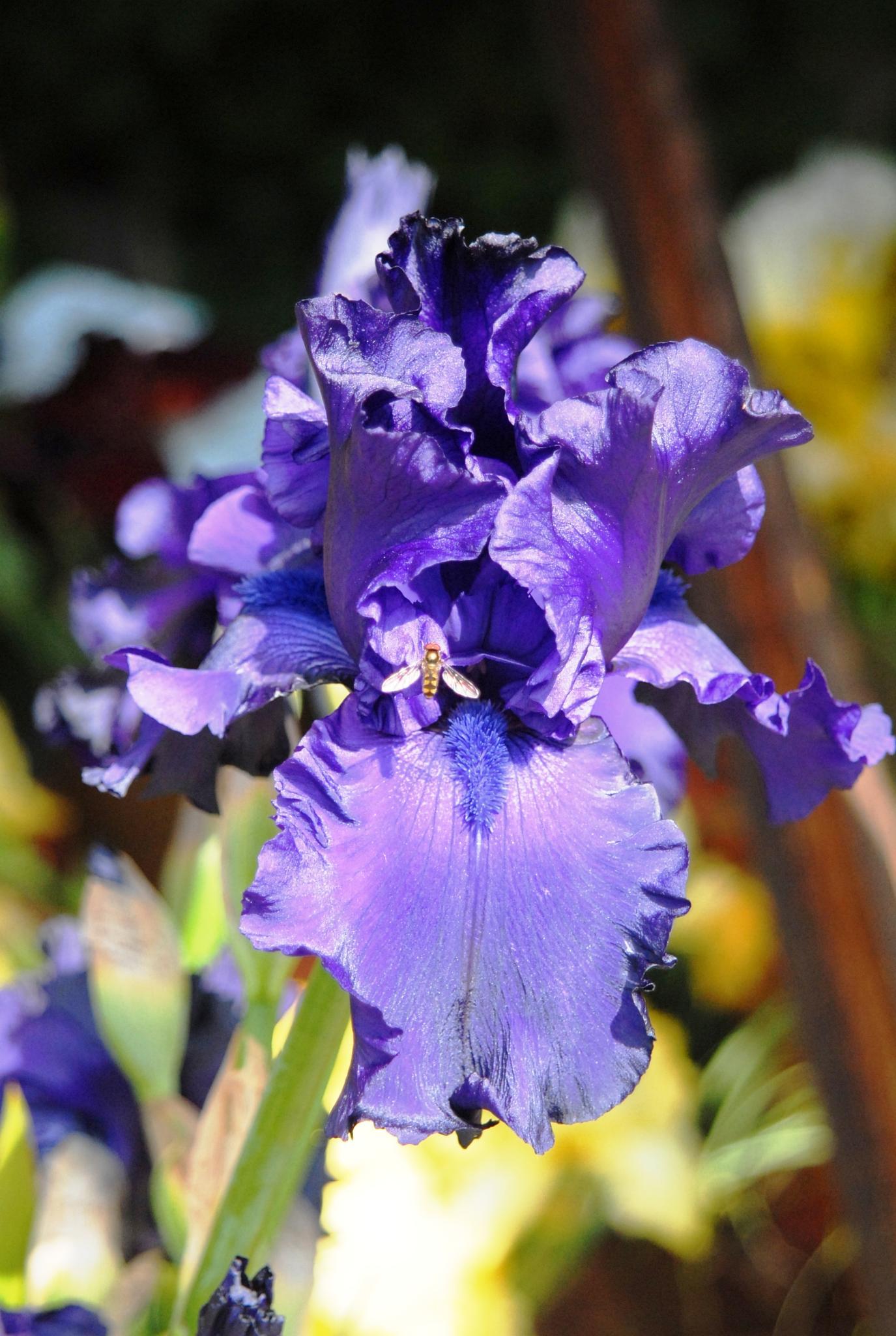 Iris by edmund hirschfeld