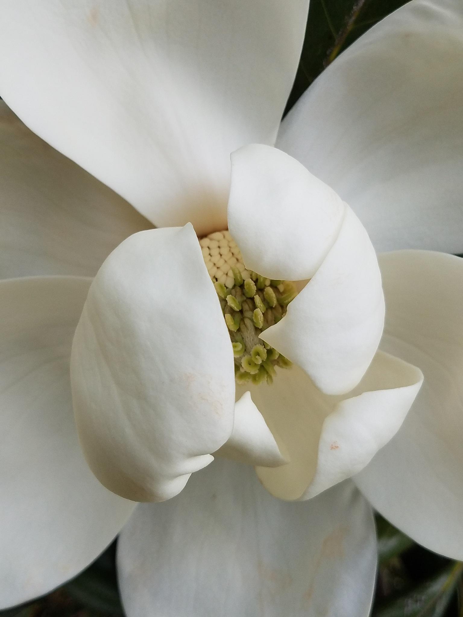 Magnolia by mzwack1