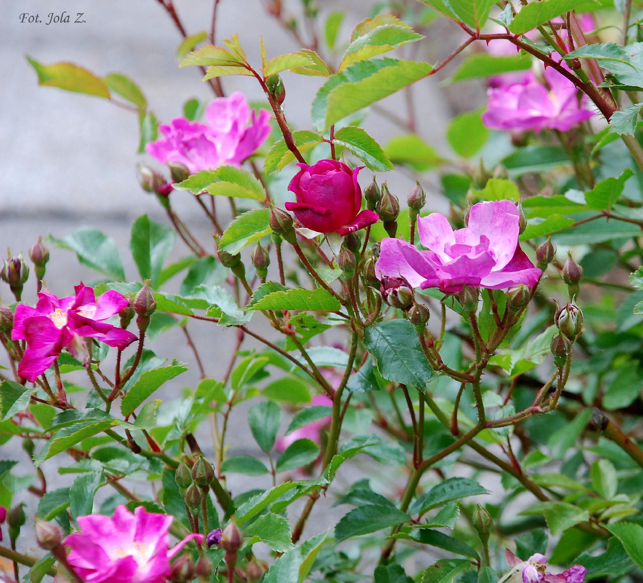Roses by jolanta.zuzel