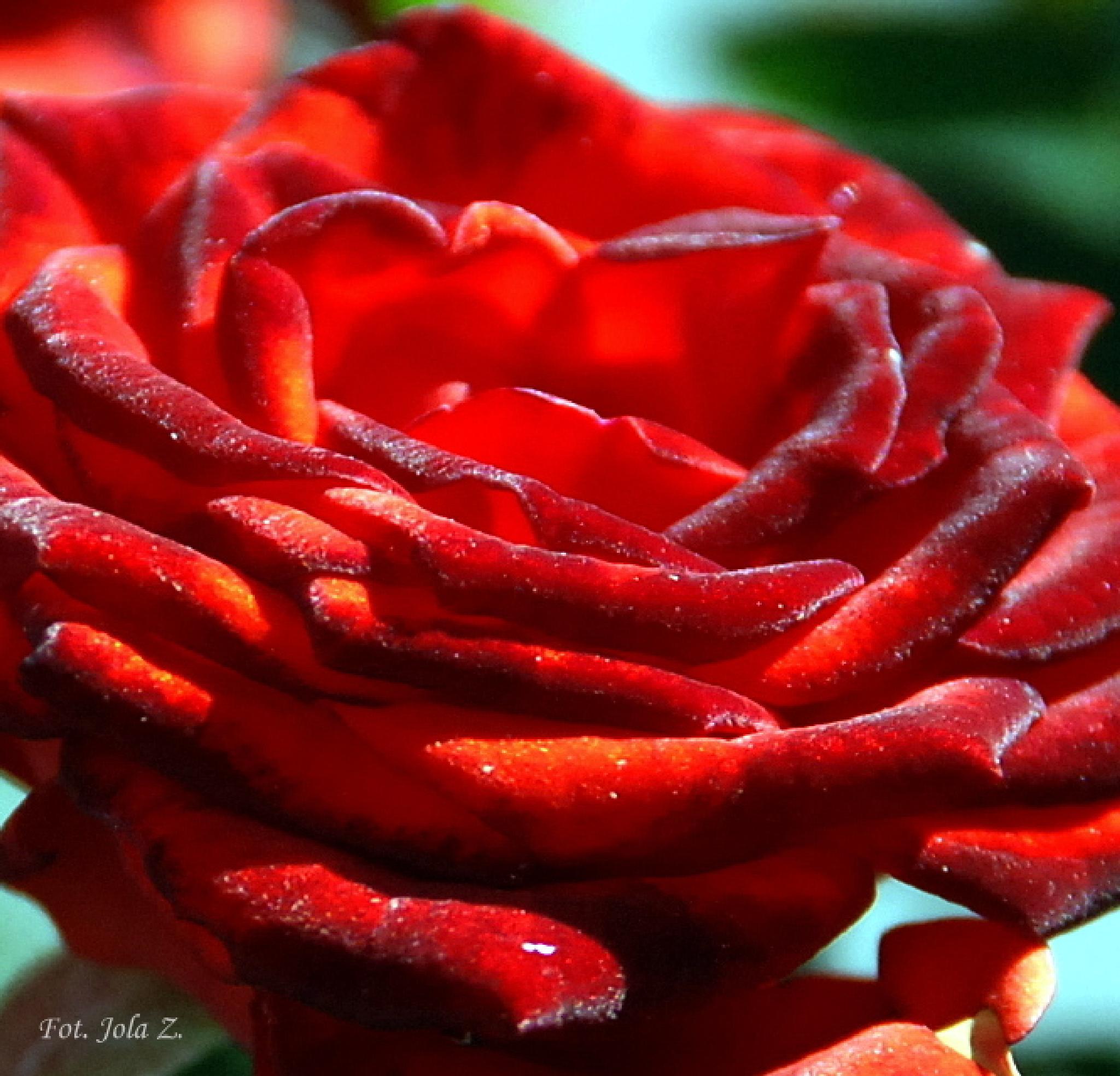 Rose 2 by jolanta.zuzel
