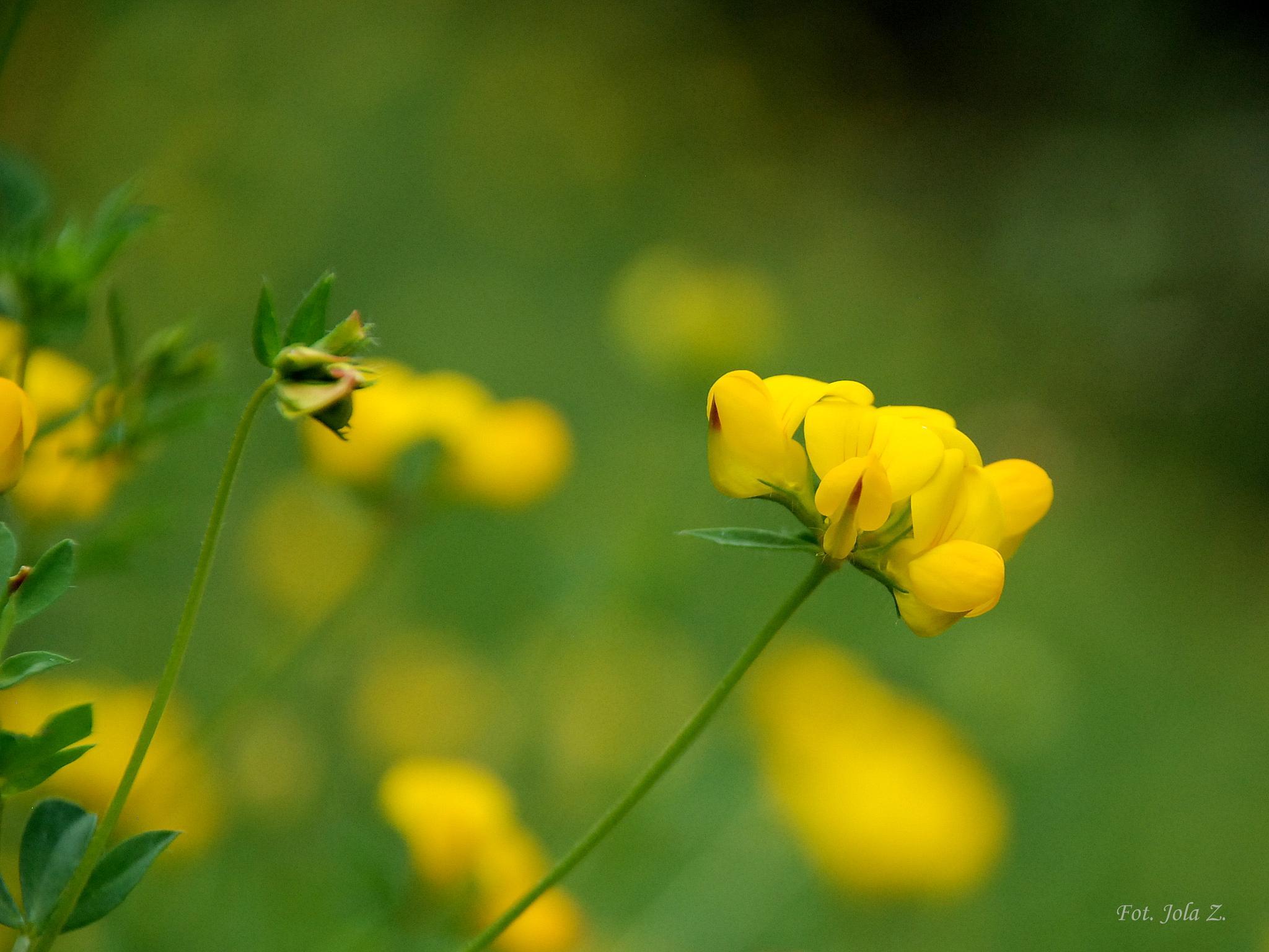 Polny kwiat by jolanta.zuzel