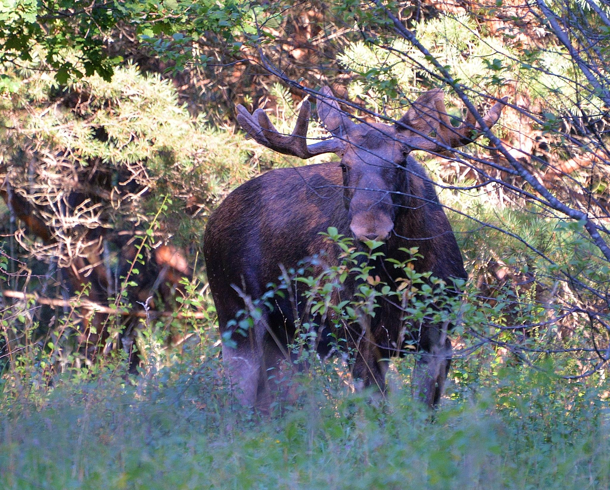 Moose pic. 2 by Per Göthe