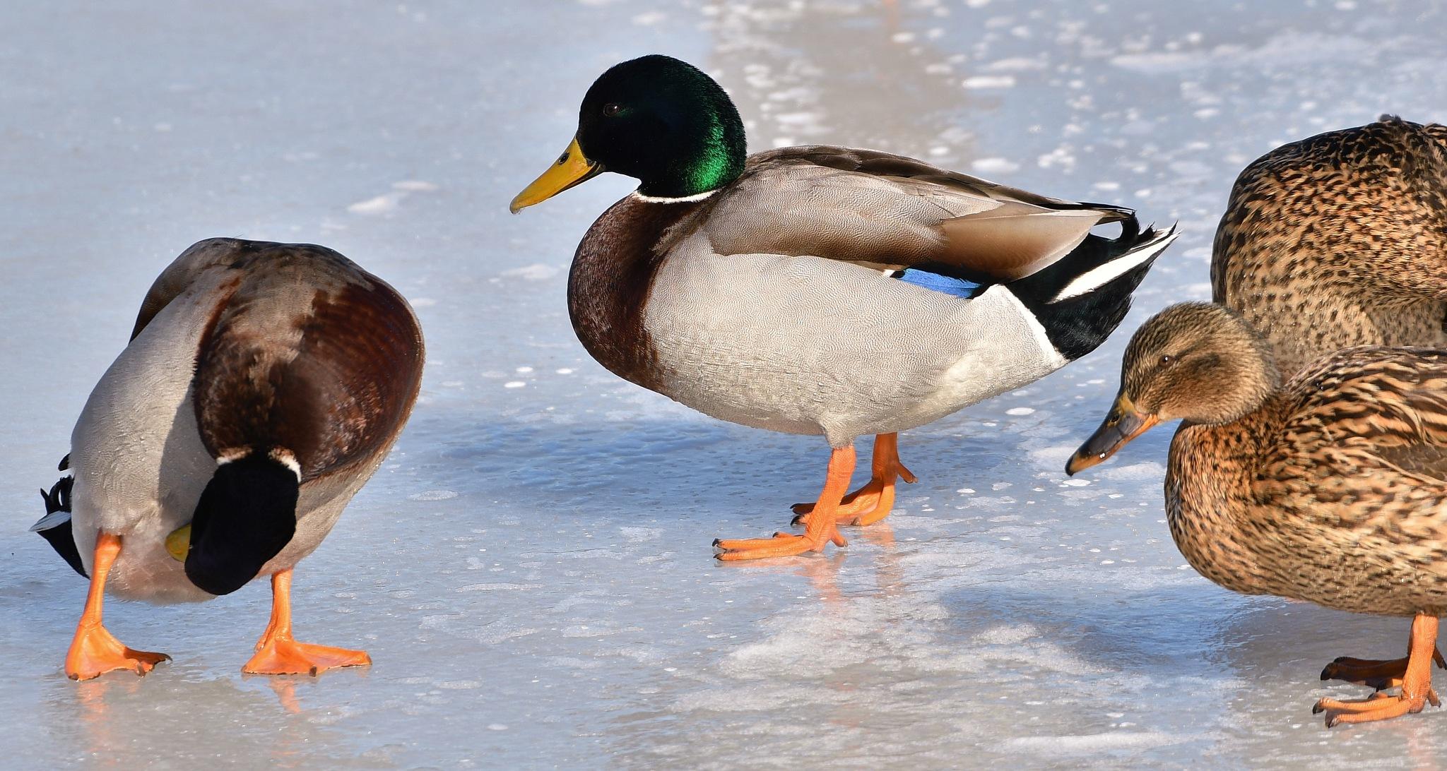 Mallards on the ice by Per Göthe