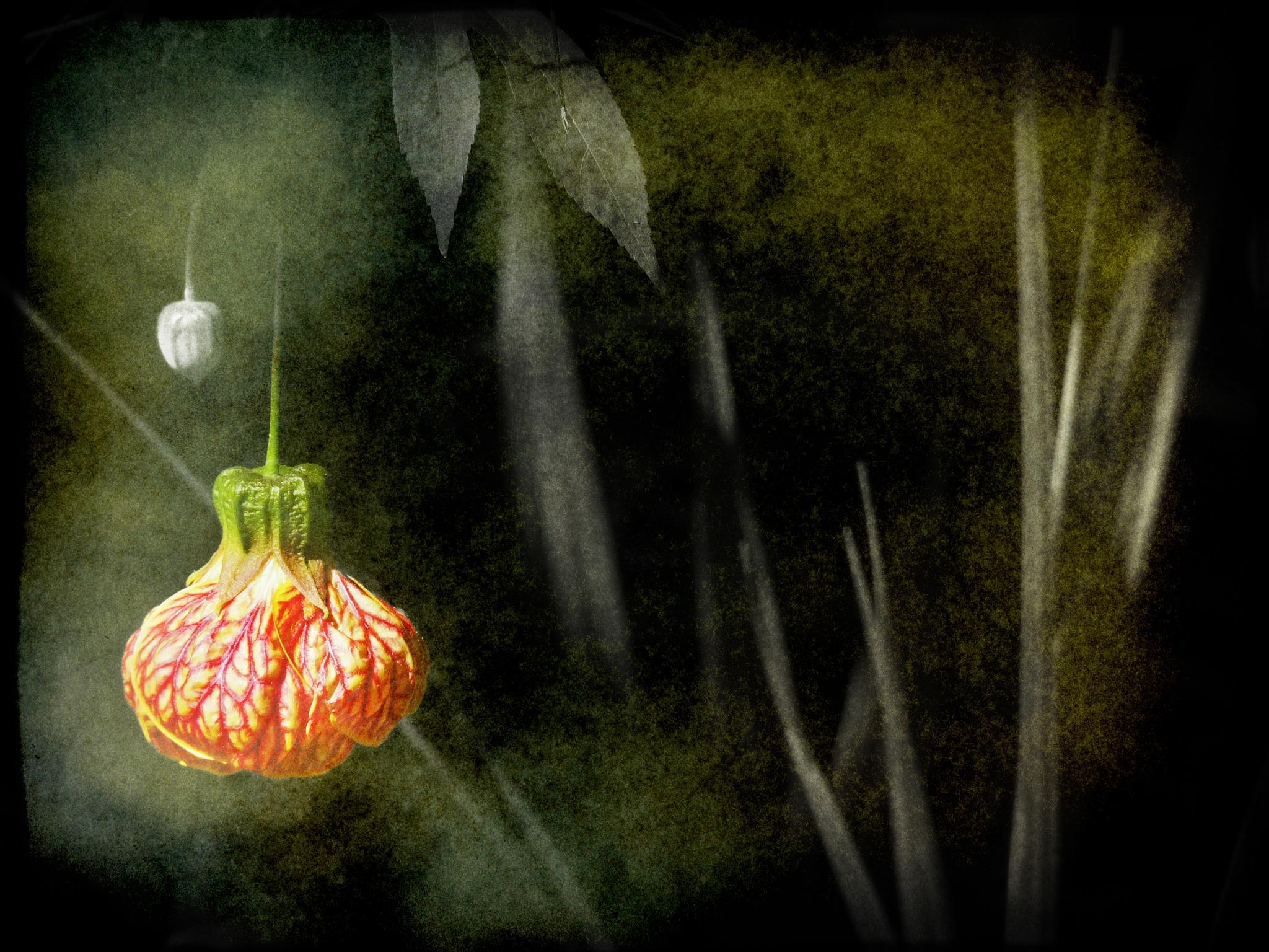 Chinese lantern by nick.kenrick.9