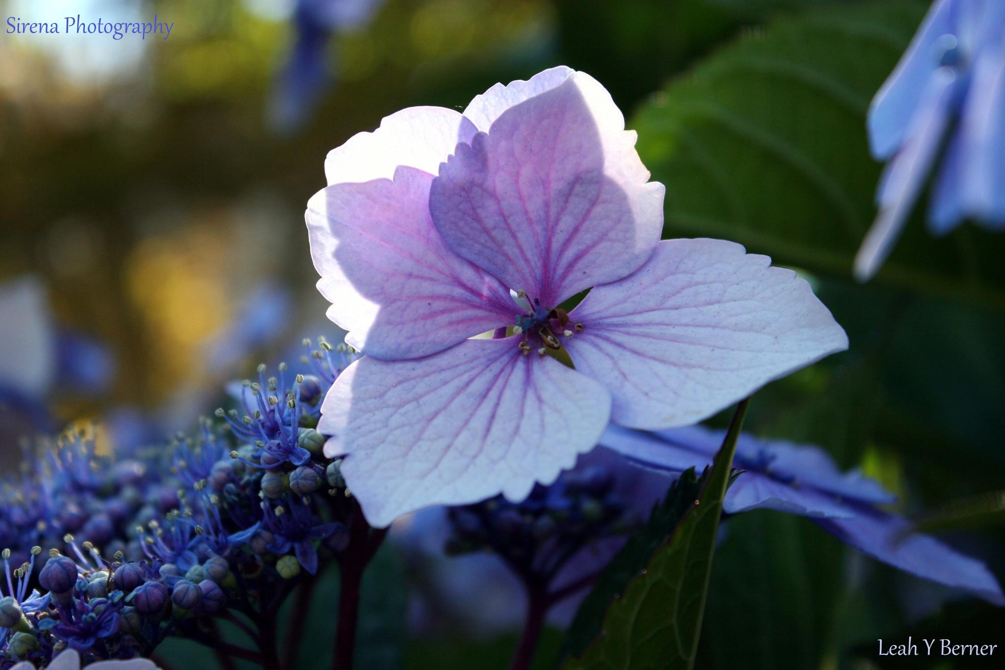 Hydrangea with Light by *Sirena Photography* LYB