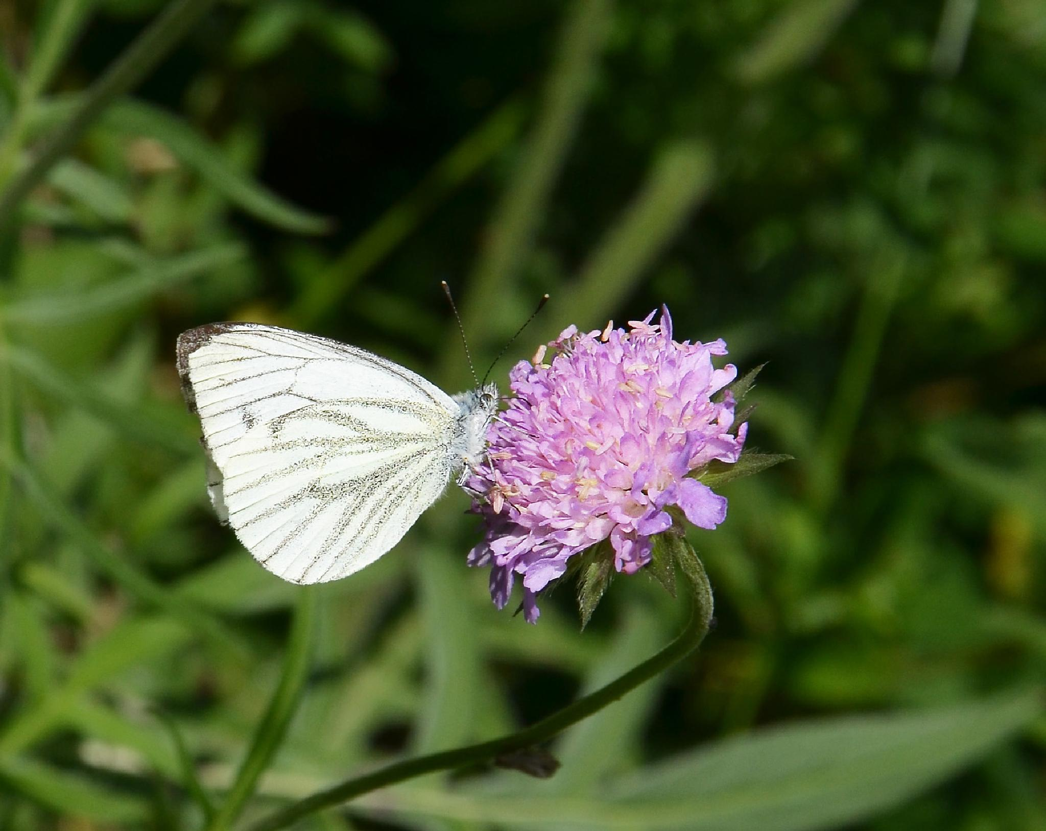 Butterfly by ullalena.wistberg