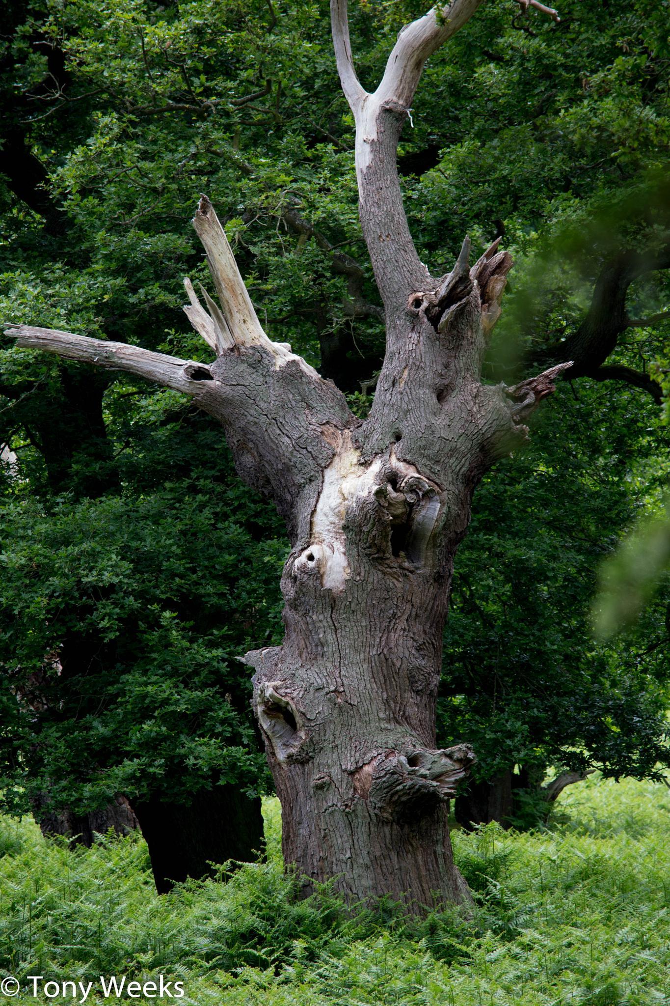 A very old dead Oak in Bradgate park by tony.tweeks