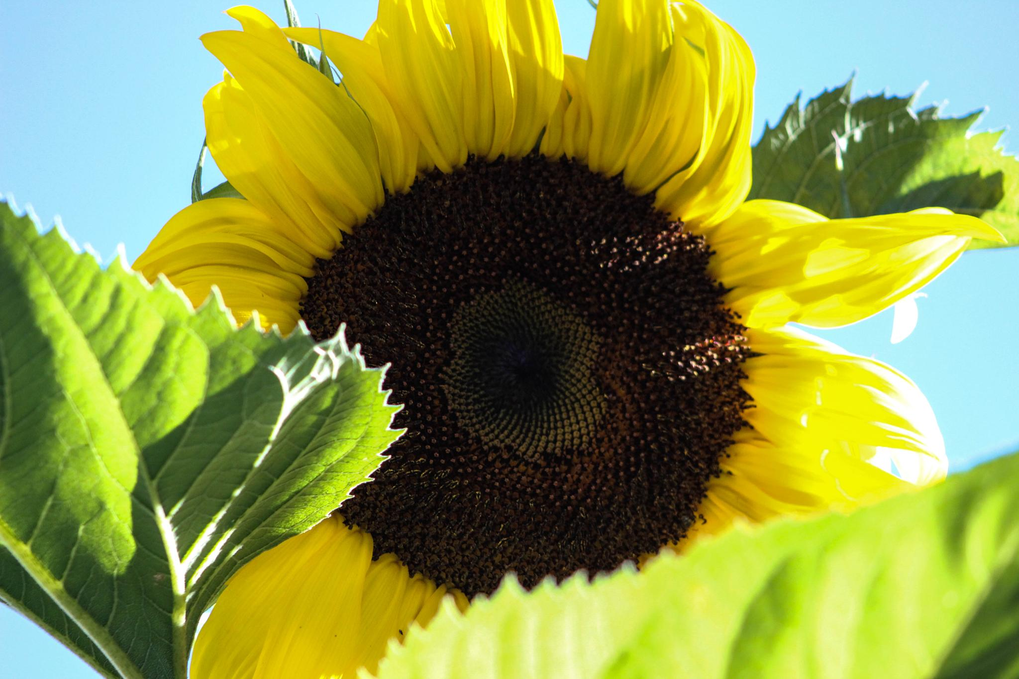 One of my HUGE sunflower by teresa.patterson.71
