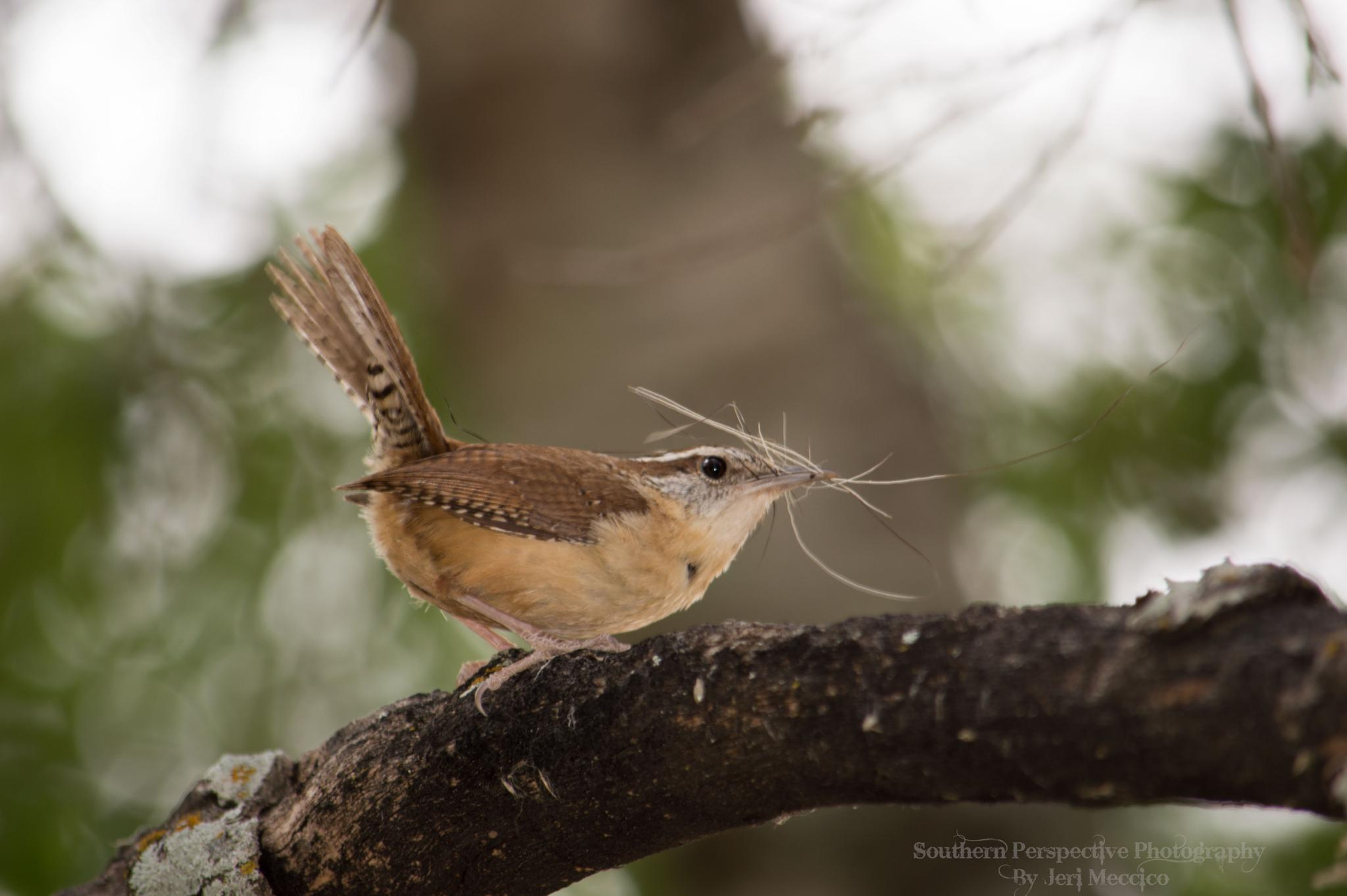 Photo in Nature #bird #nature #random #carolina wren