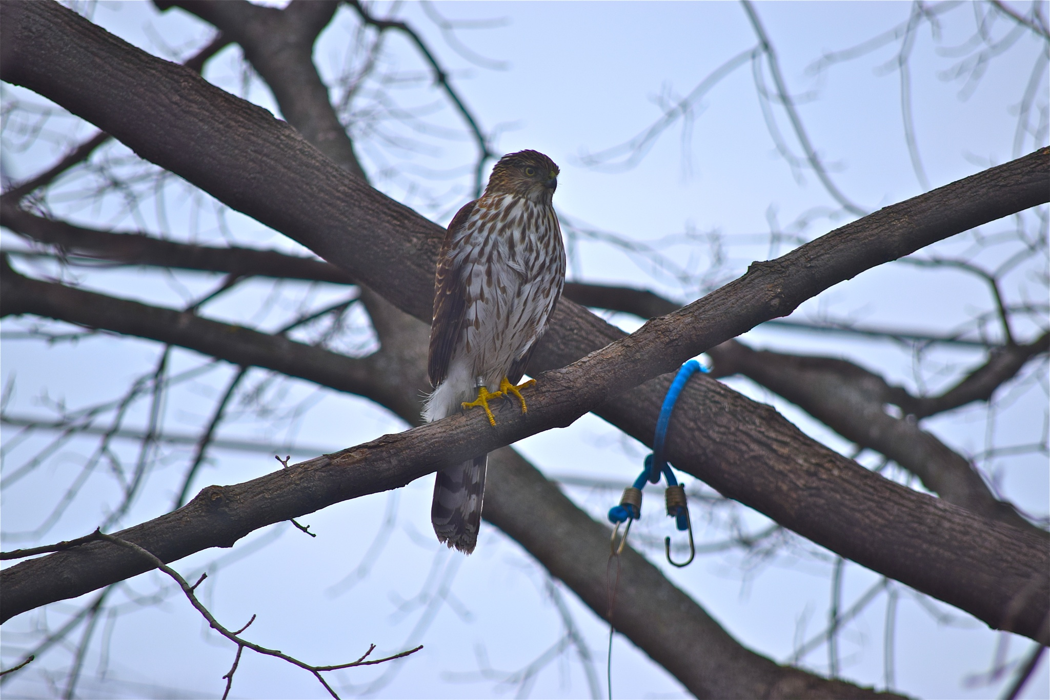 Looking for some lunch. Sharp-shinned Hawk by ramses2009