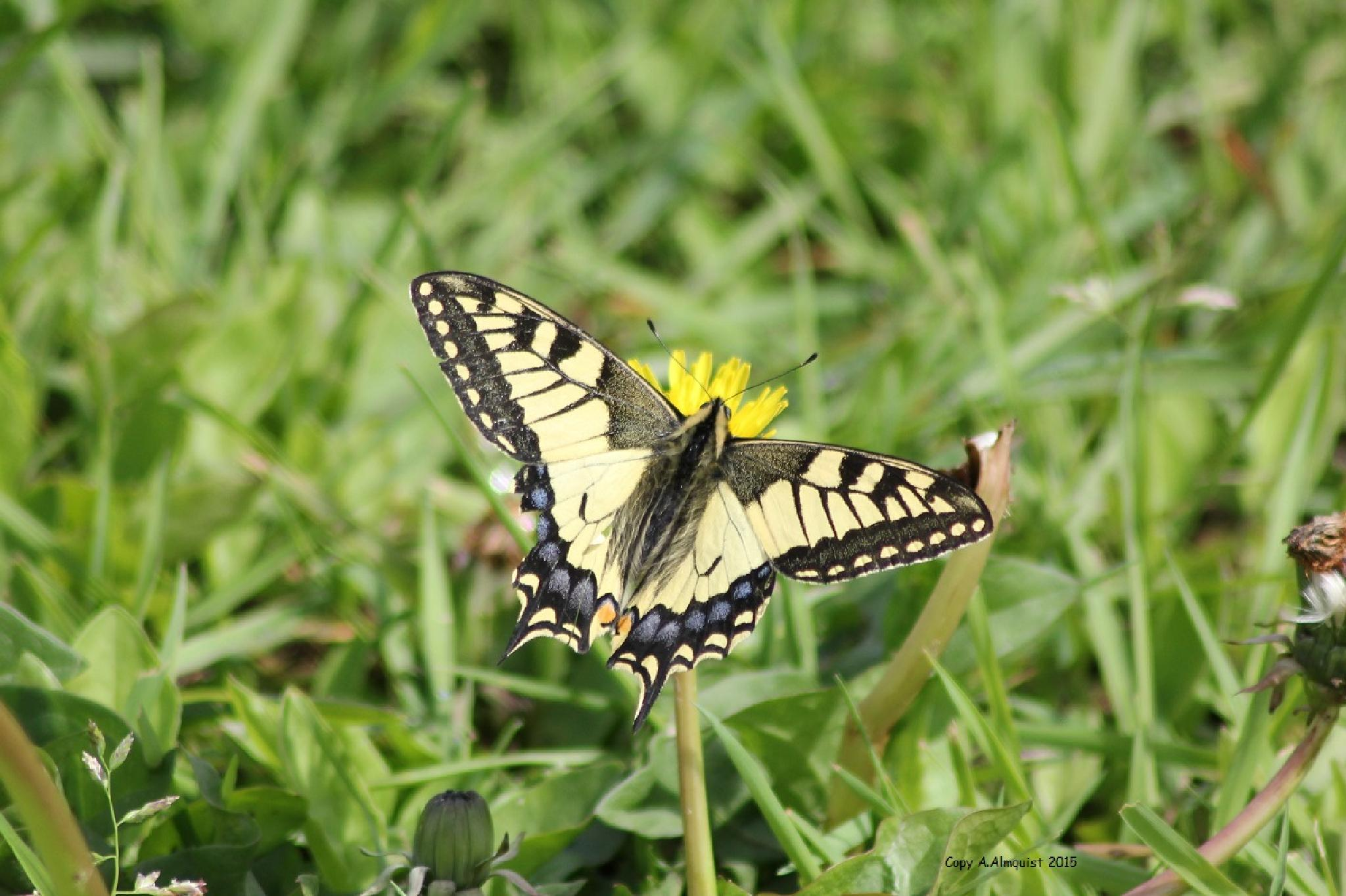 Papilio machaon by anette.almquist