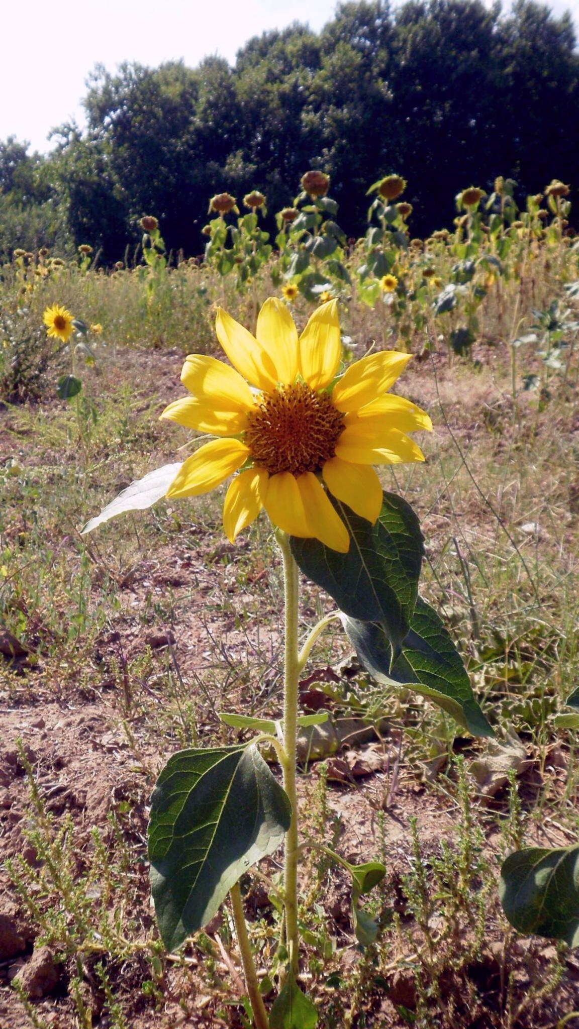 sun flower by angeliki