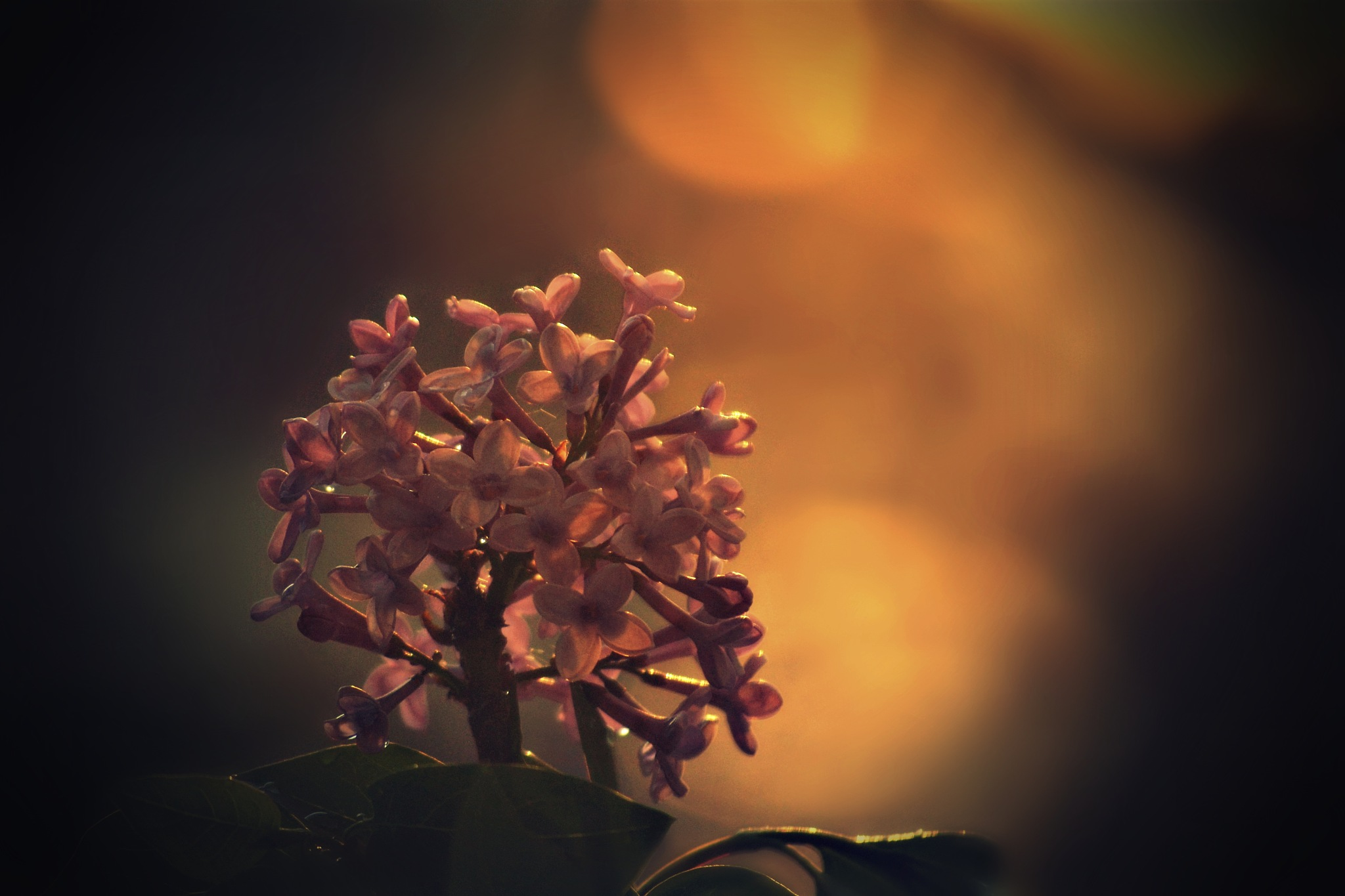 ~lilacs at sunset~ by angeliki