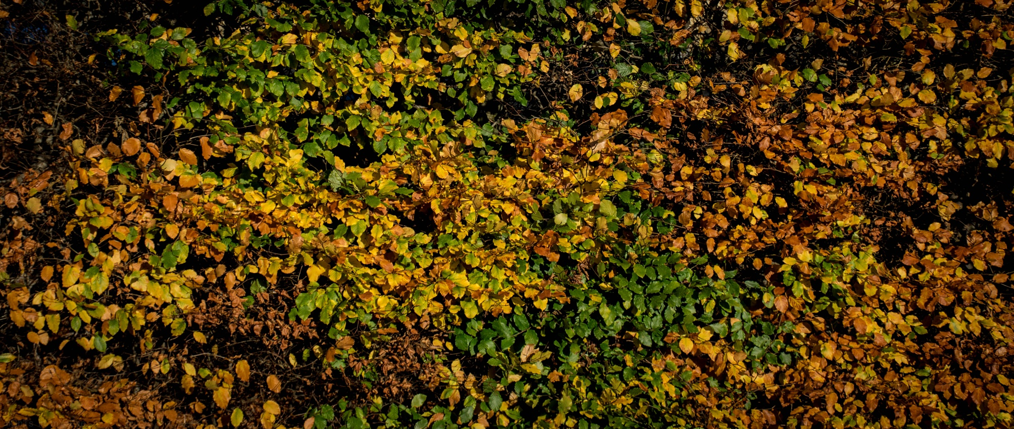 hedge colour by neil.hickman1
