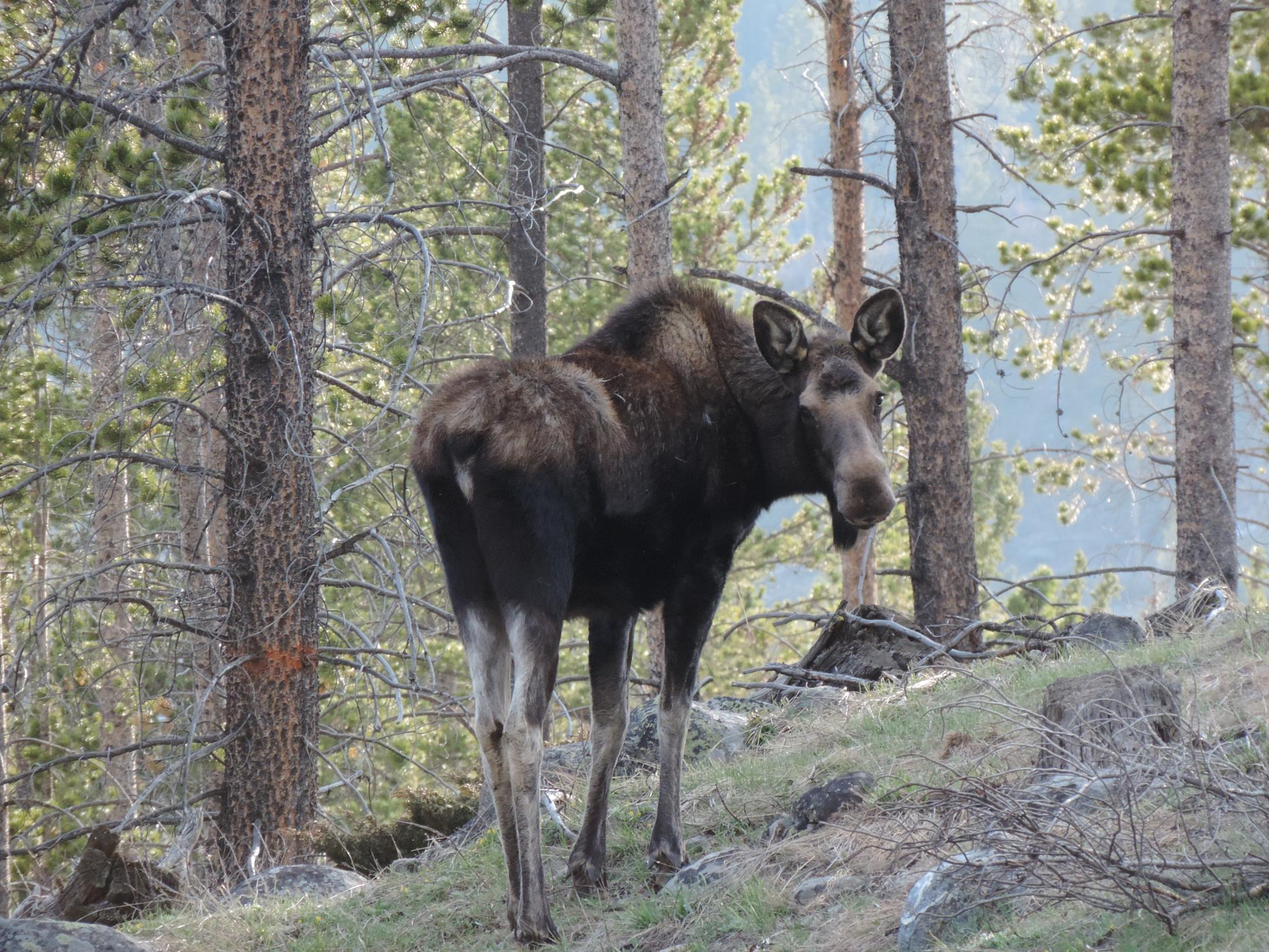 Yearling Moose by tracie.mitchell.58