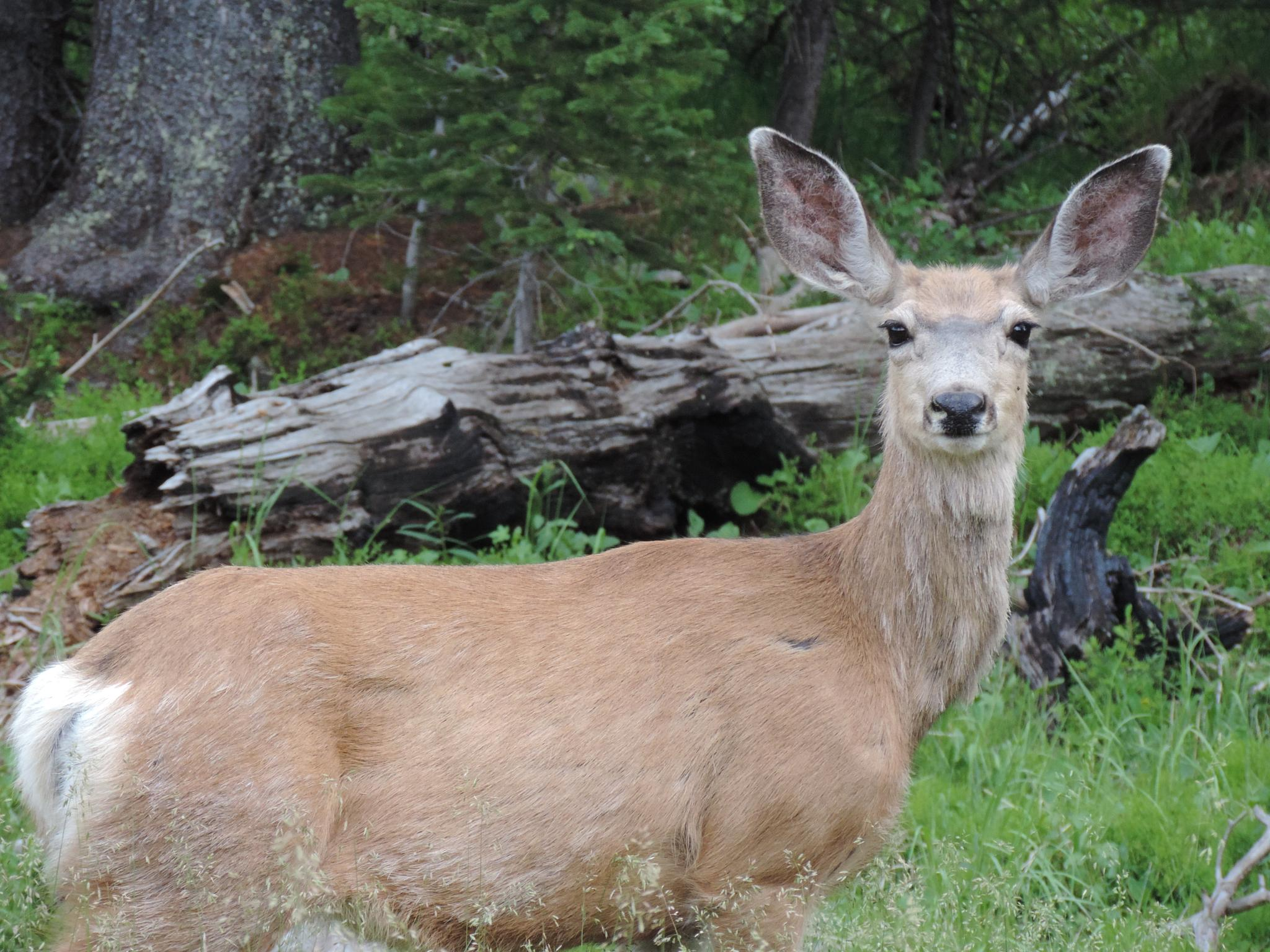 Photo in Animal #deer #animal #wildlife #nature