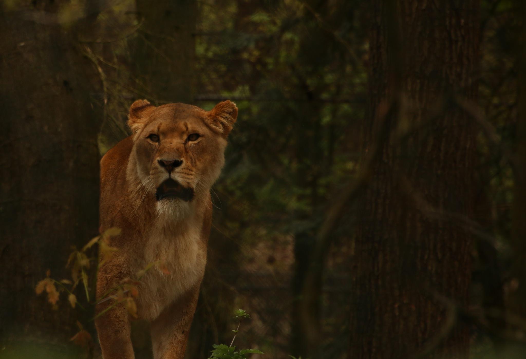 Lion by Eddie