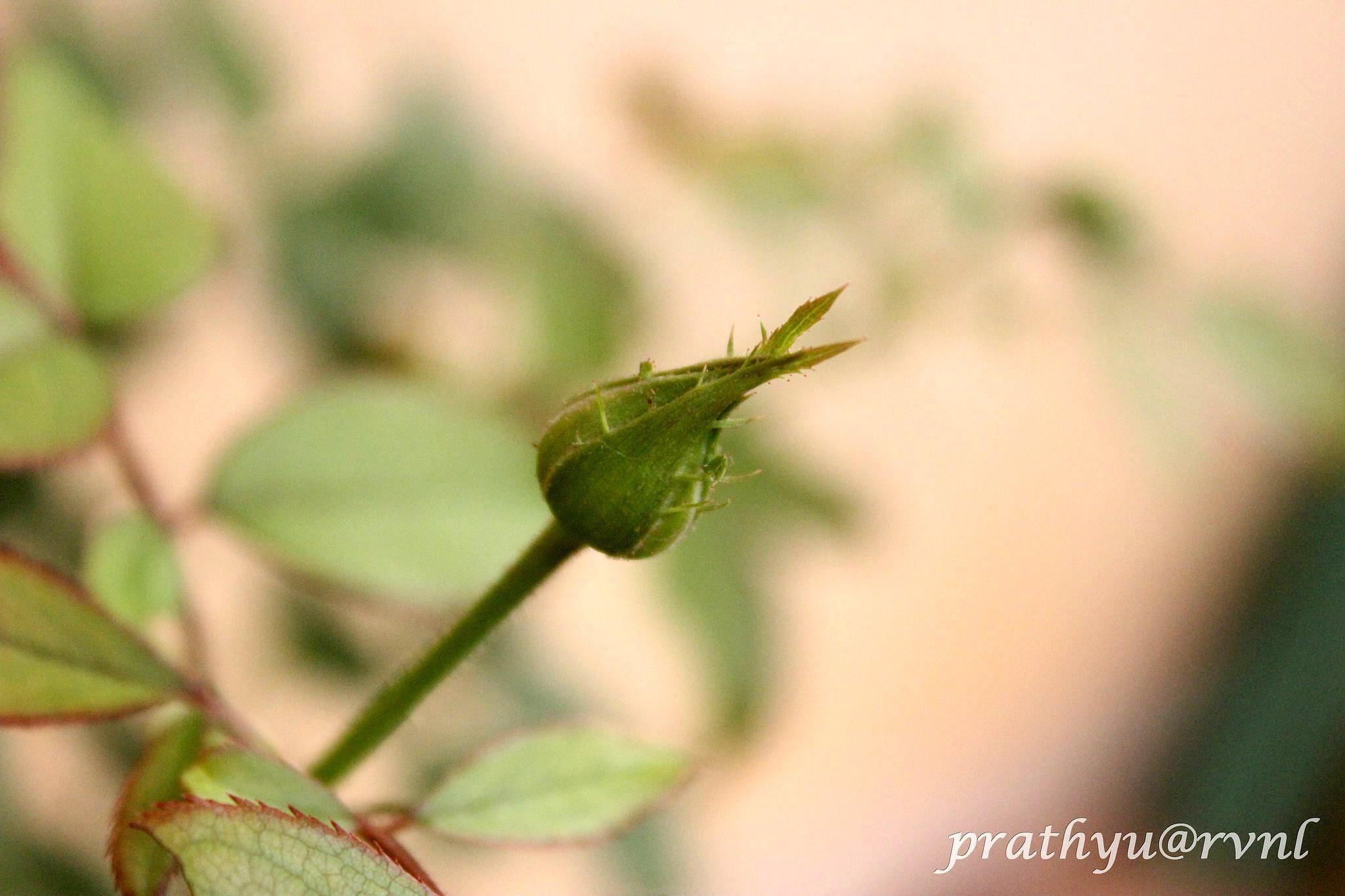 Budding rose by rvnlprathyusha