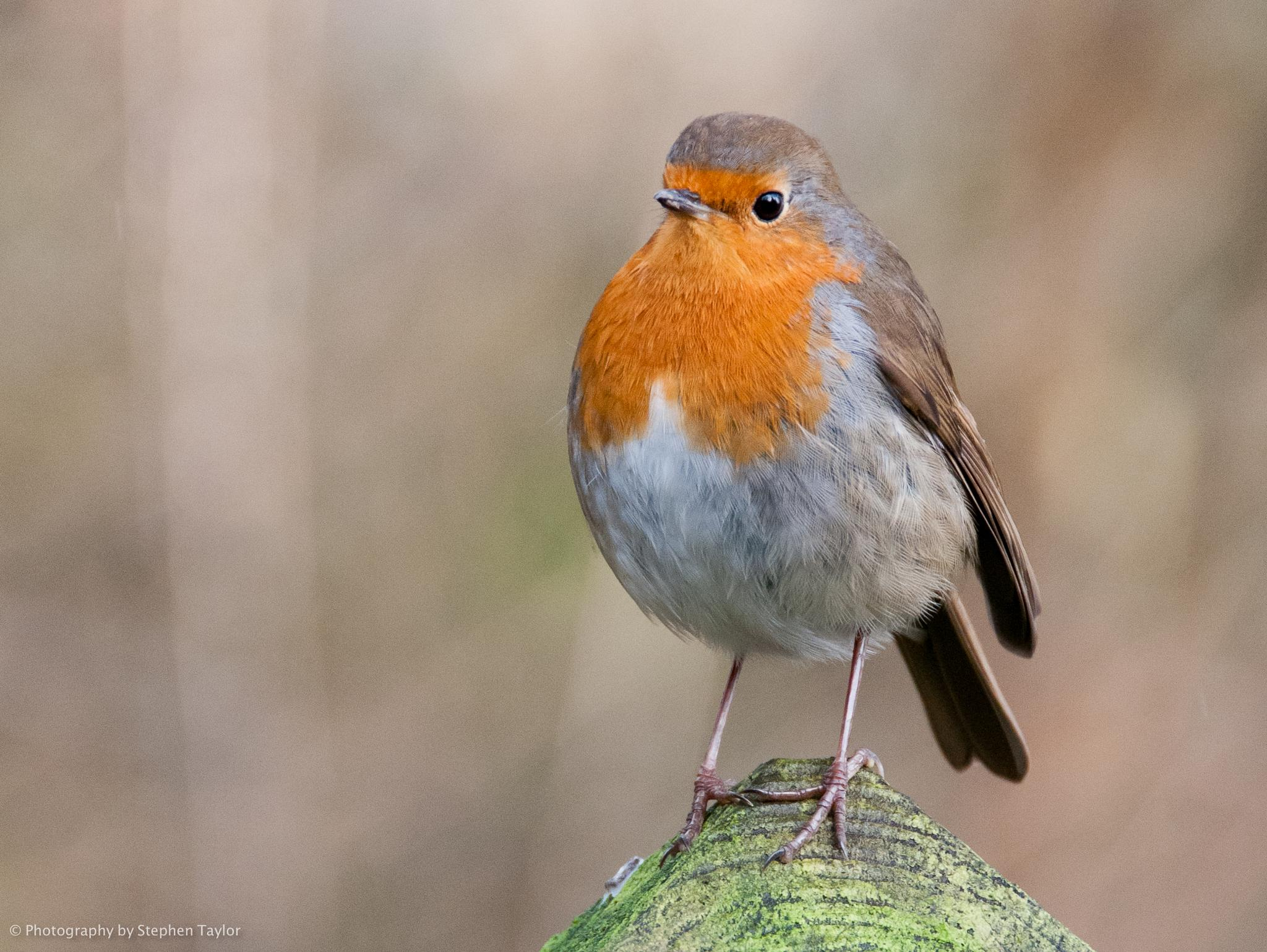 Robin by Stephen Taylor