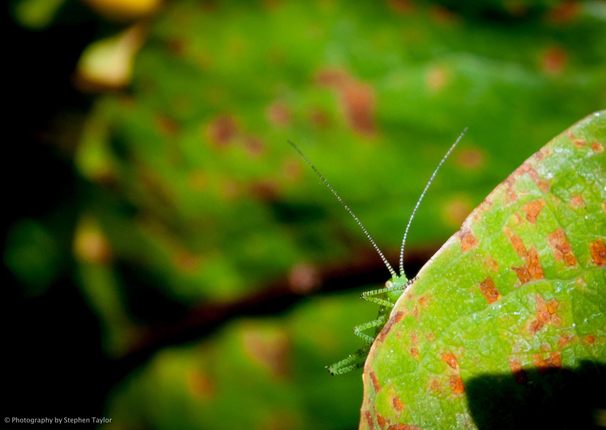 Grasshopper on a leaf by Stephen Taylor