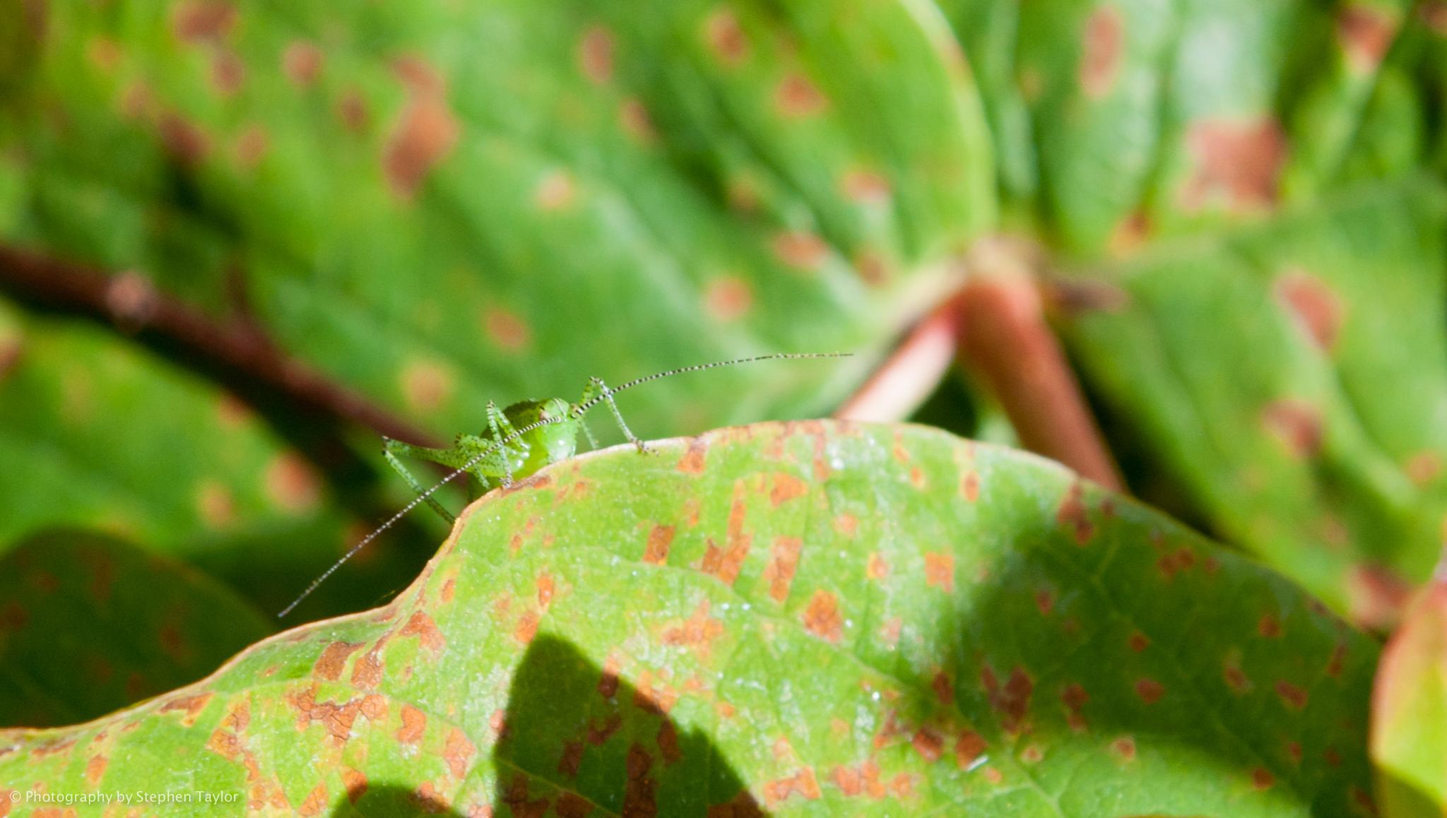Grasshopper on leaf 2 by Stephen Taylor