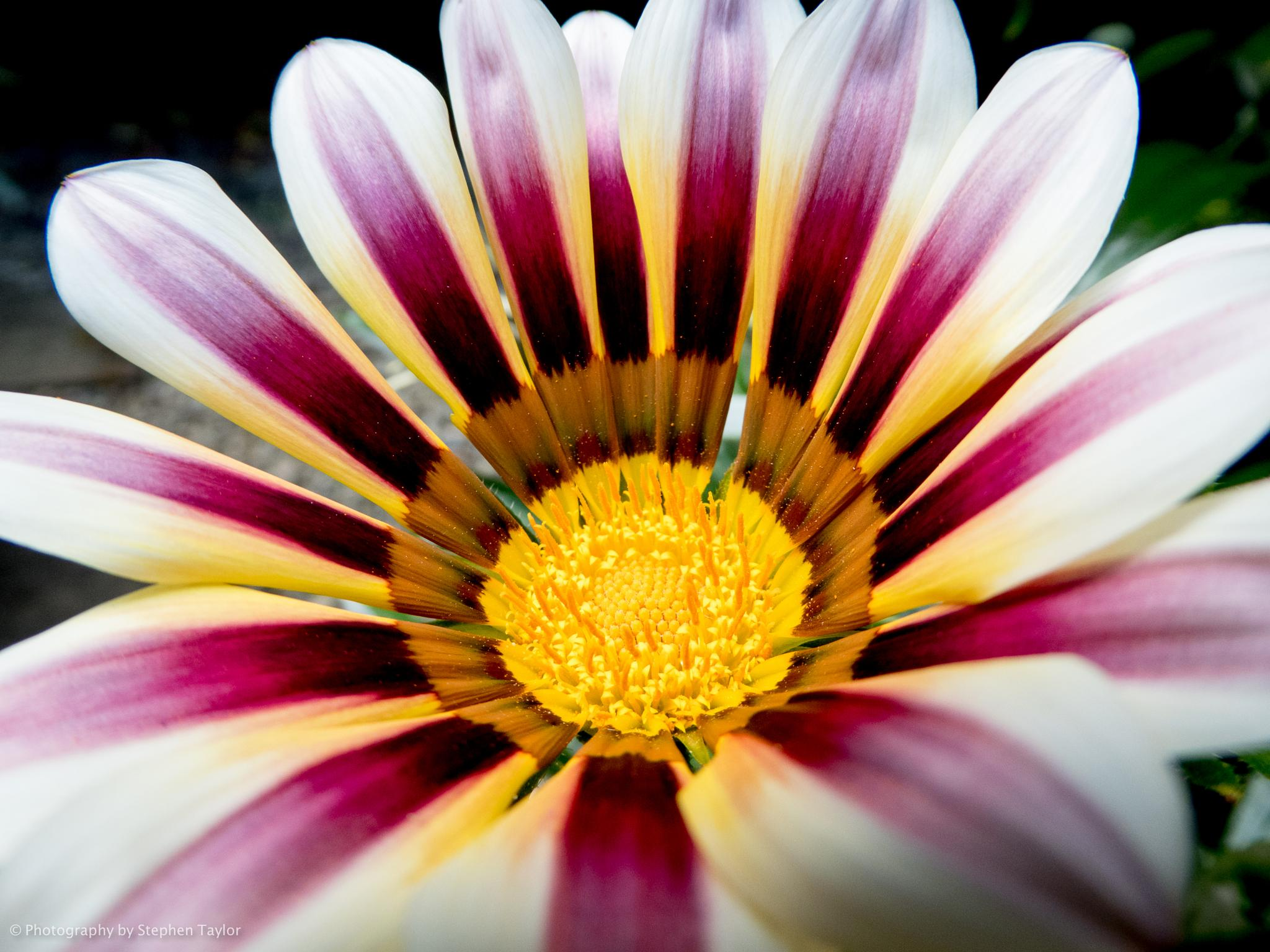 flower by Stephen Taylor